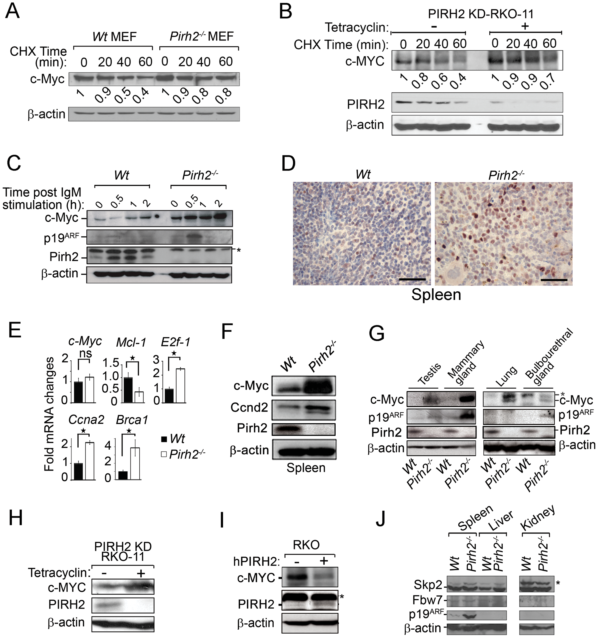 Increased c-Myc Protein Level in <i>Pirh2</i> Mutant Cells and Mice.