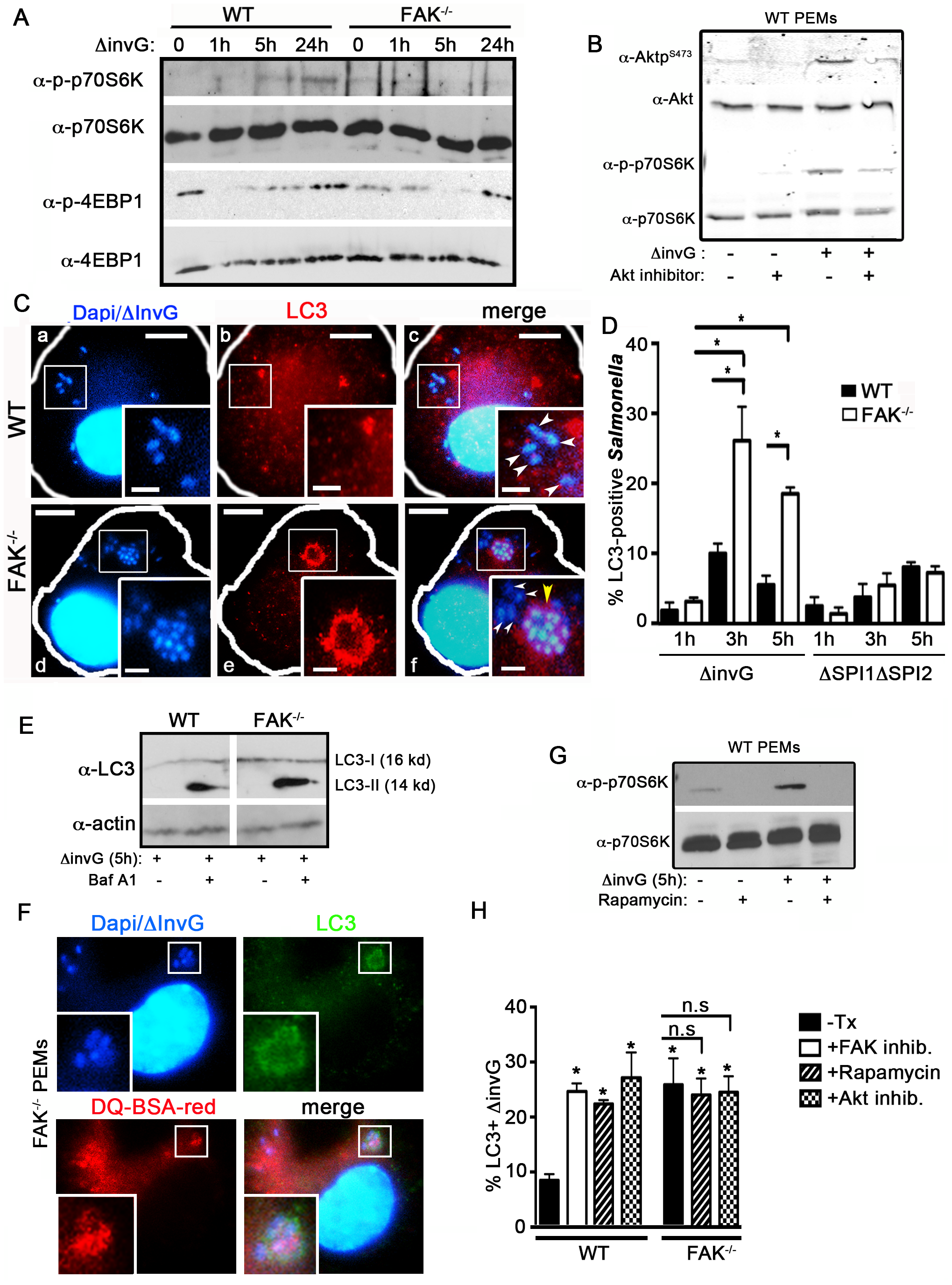 FAK-dependent Akt-mTOR signaling inhibits the recruitment of LC3 to SCVs.