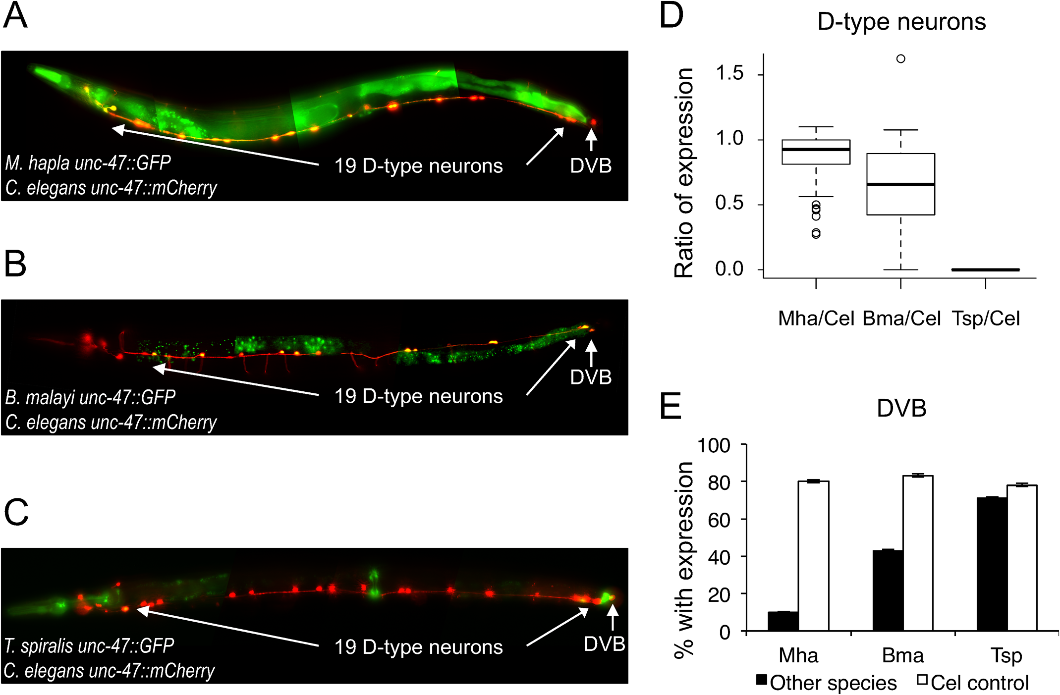 <i>unc-47</i> regulatory sequences from distantly-related nematodes drive expression in <i>C</i>. <i>elegans</i>.