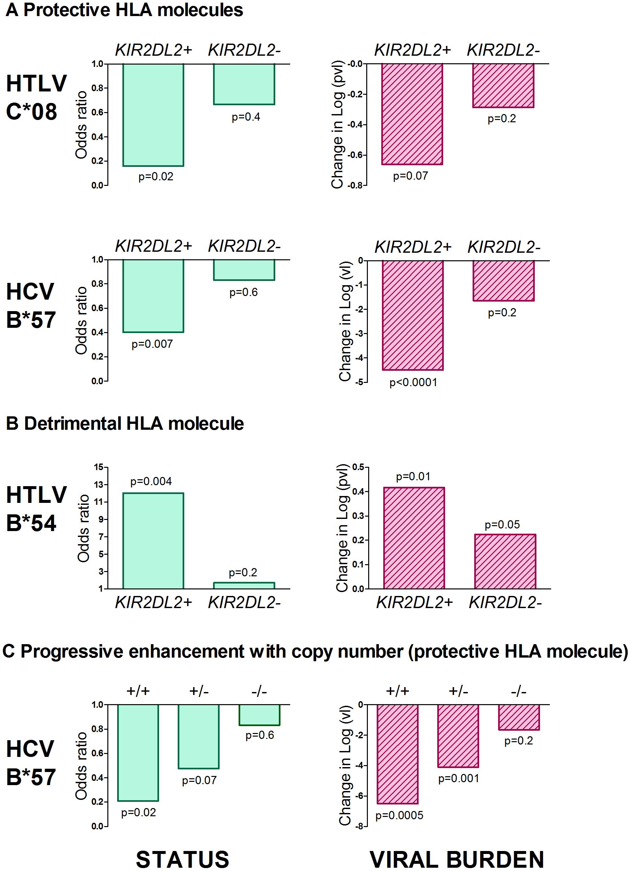 <i>KIR2DL2</i> enhances HLA class I mediated antiviral-immunity.