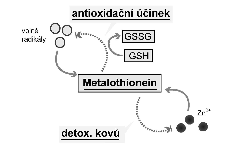 Účinky metalothioneinu<br> Legenda: Volné radikály indukují expresi metalothioneinu (MT) (cestou MTF-1), který spolu s redukovaným glutationem (GSH) působí antioxidačně. Nenavázané kovy, zejména zinek a kadmium, zvyšují expresi MT, a ten je váže a snižuje tak jejich hladinu.