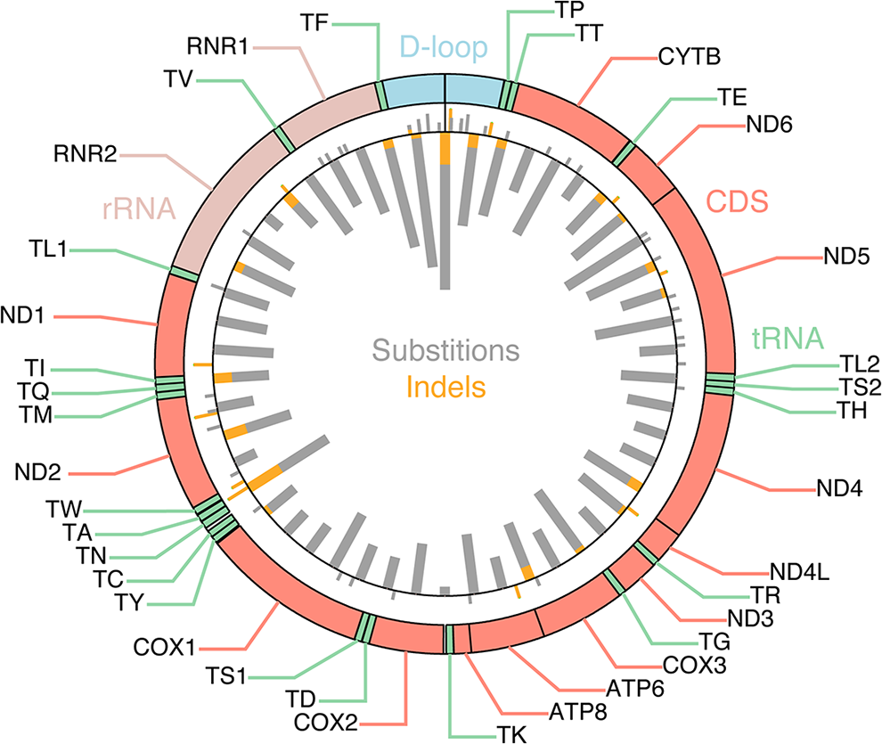 Mutational density across the mitochondrial genome.