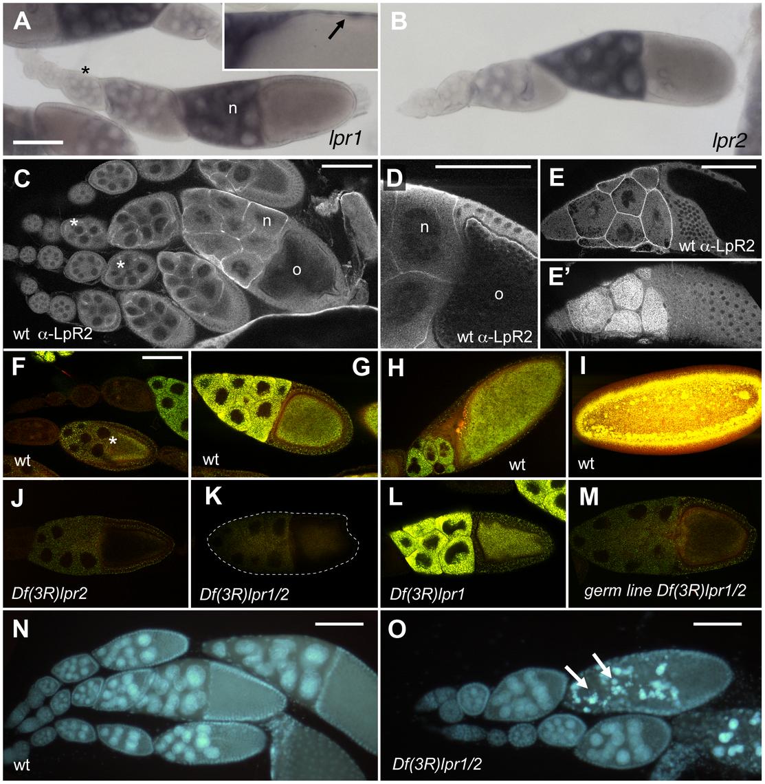 Lpr2 is required for the uptake of neutral lipids during <i>Drosophila</i> vitellogenesis.