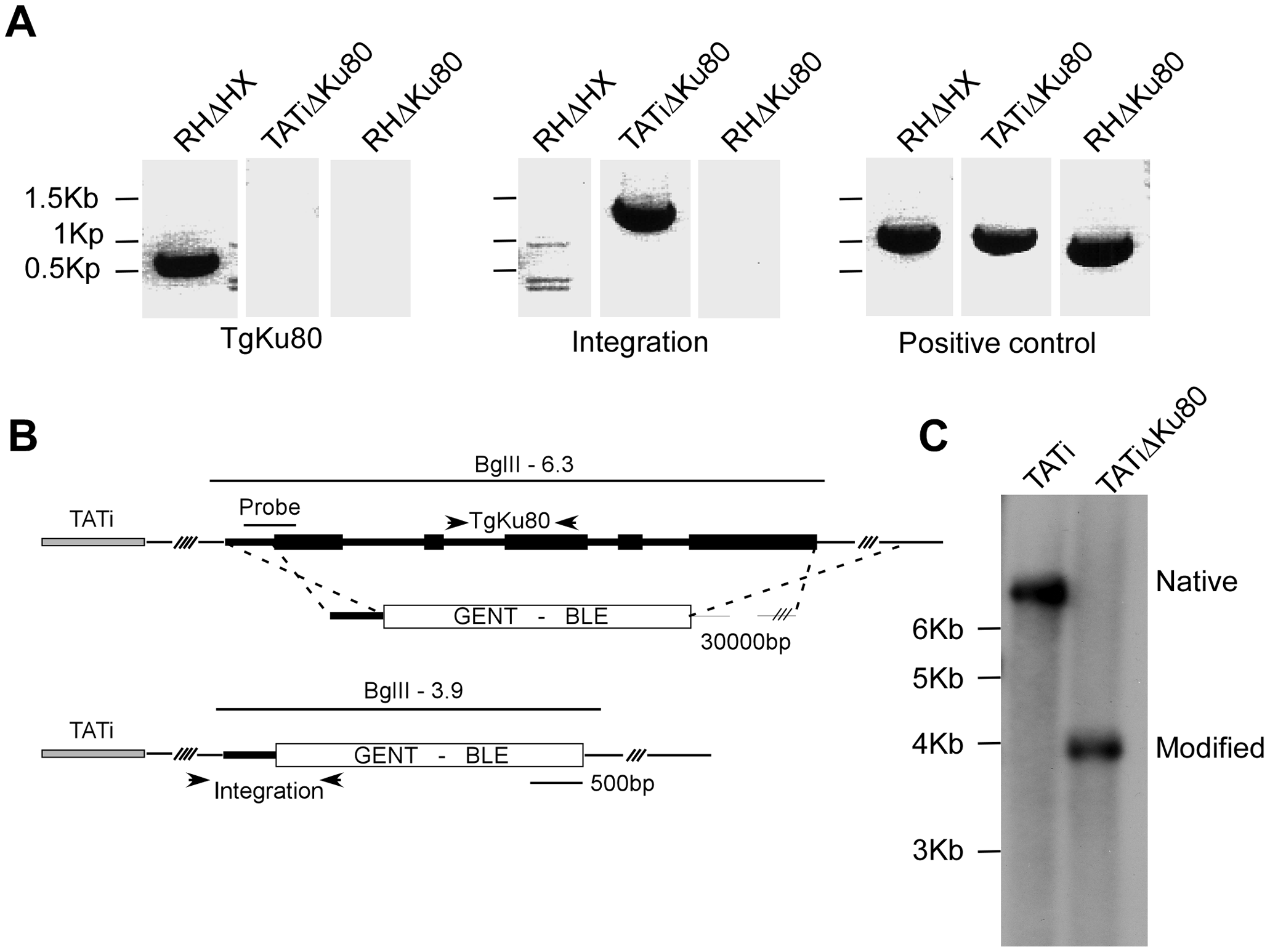 Deletion of the <i>TgKu80</i> gene in TATi transactivator parasite line.