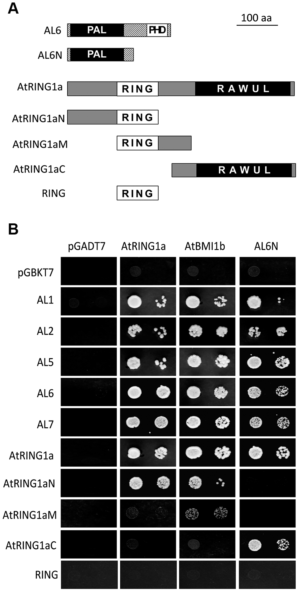 Interactions of ALs and PRC1 ring-finger proteins in yeast two-hybrid assay.