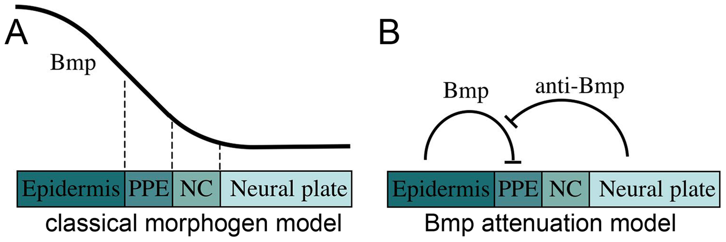 Models for the role of Bmp in preplacodal specification.