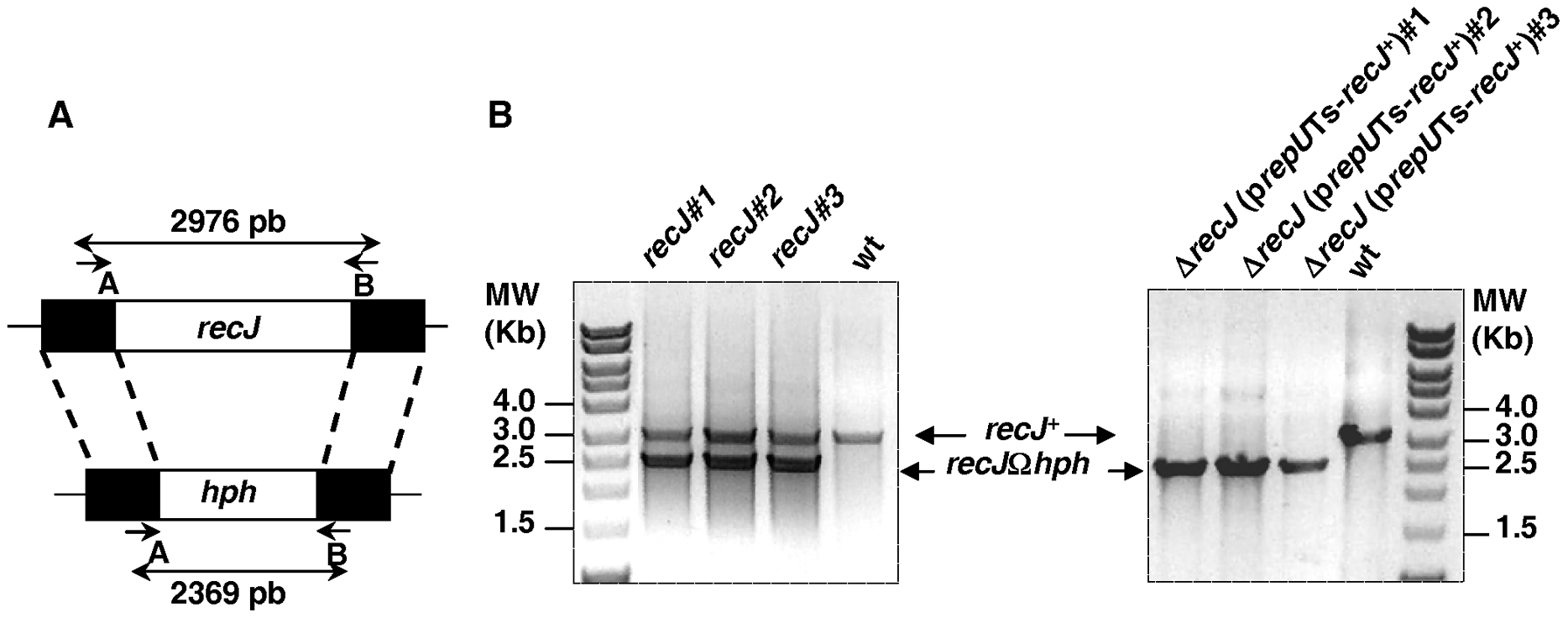 Schematic representation and test of deletion-substitution in the <i>D. radiodurans recJ</i> gene.