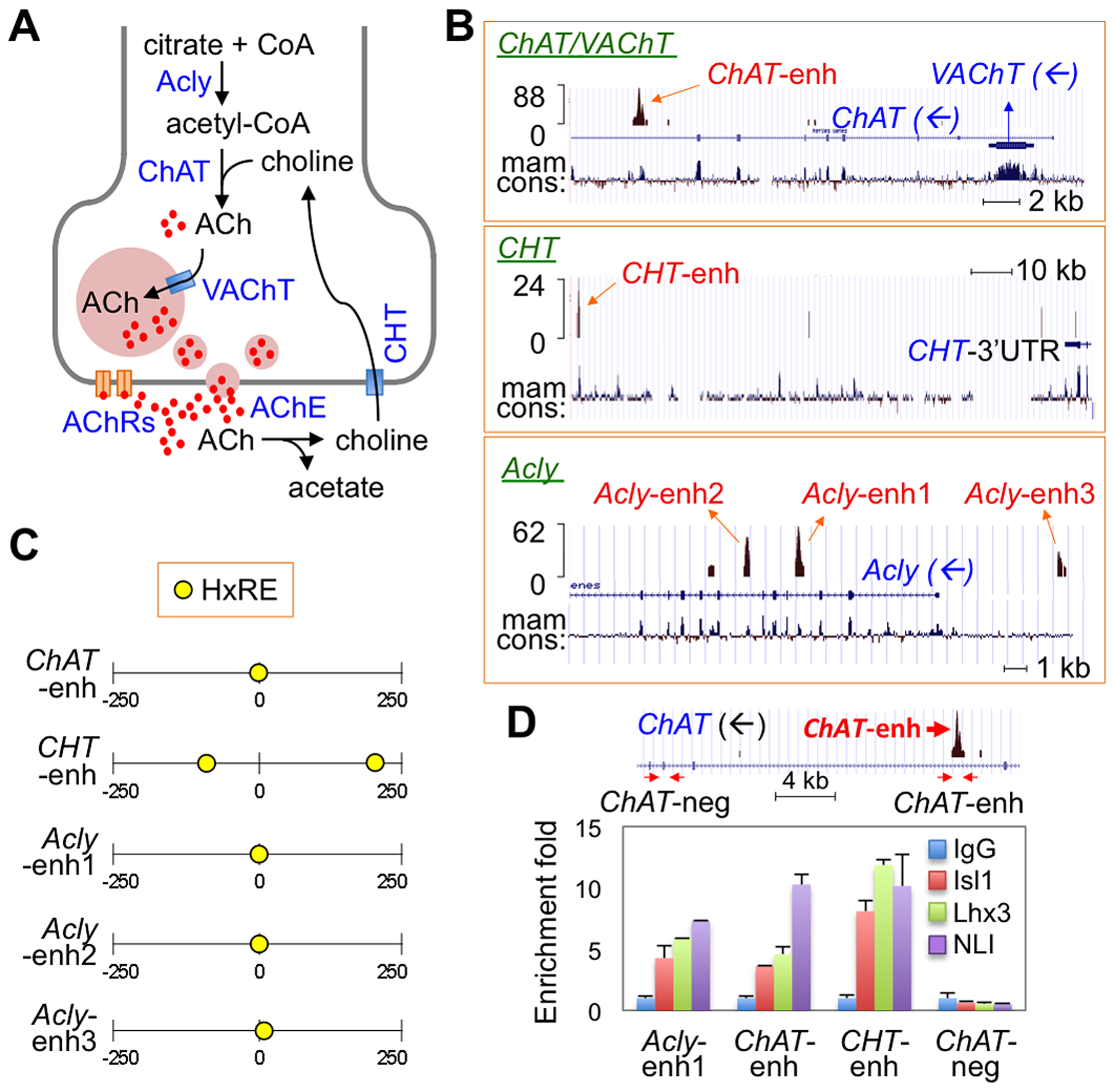ChIP-seq assays revealed Isl-Lhx3-hexamer-binding sites in a cholinergic gene battery.