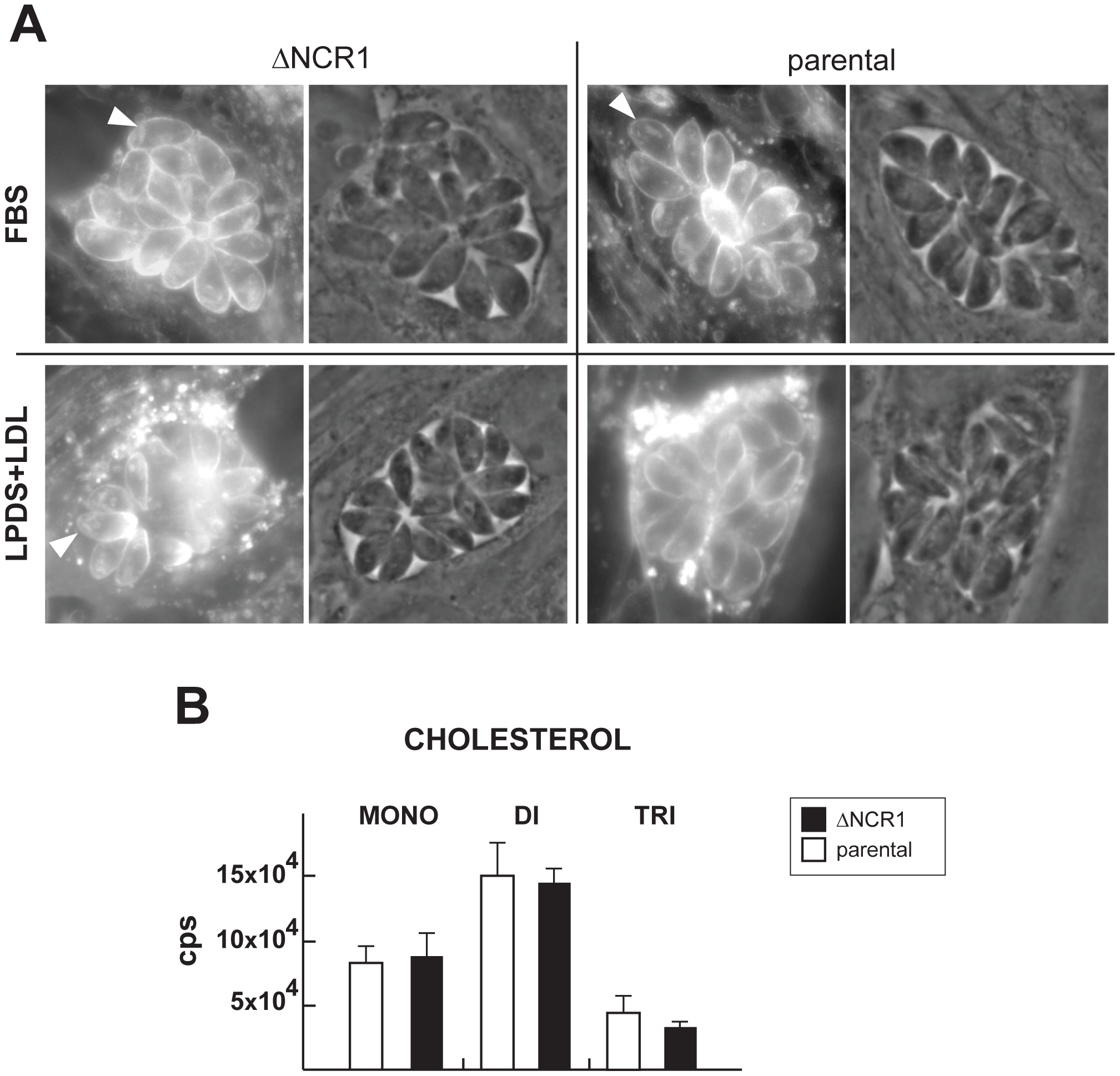 Cholesterol detection and quantification in TgNCR1-deficient parasites.