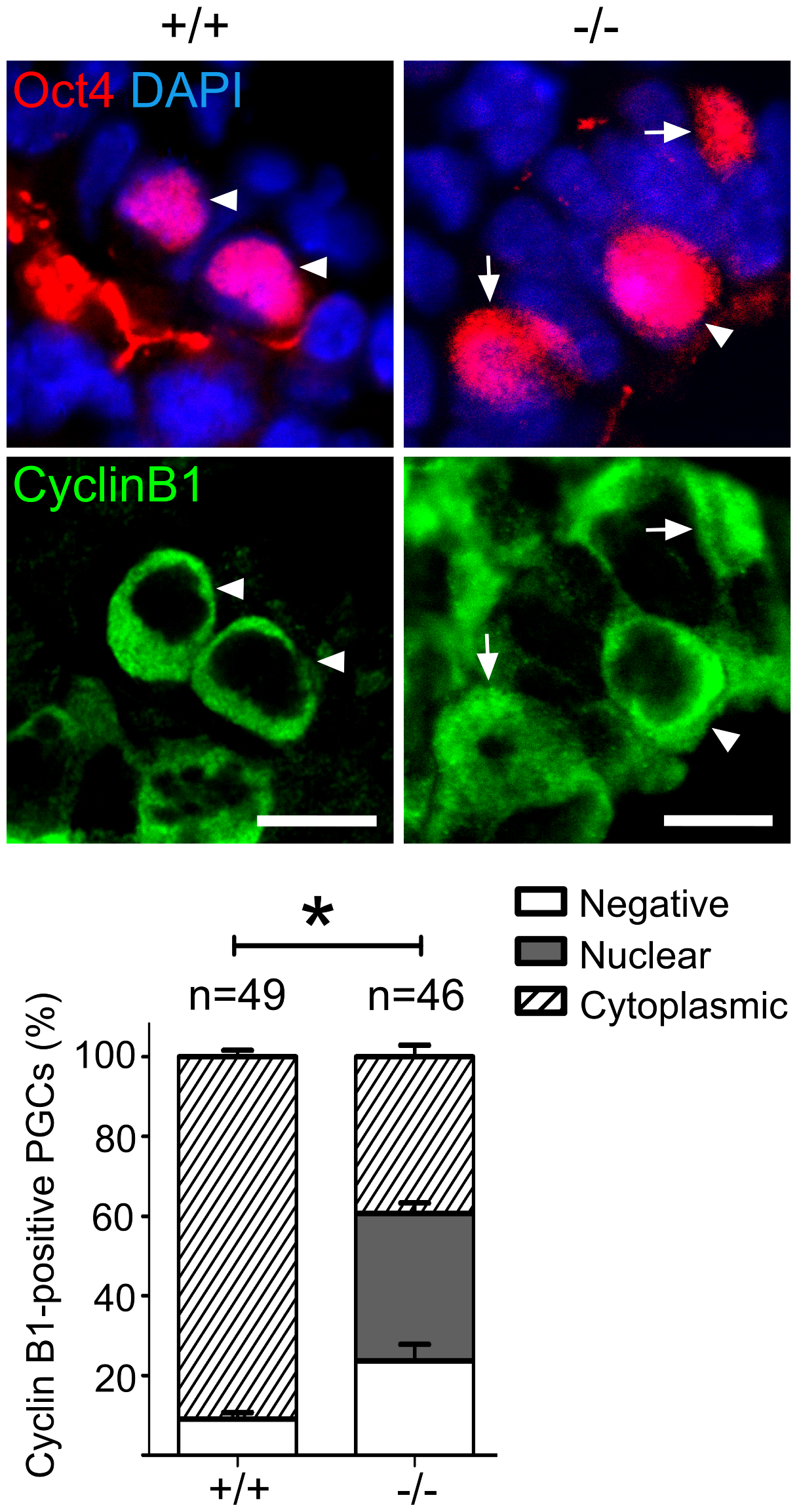 Mad2l2 deficiency affects the cell cycle in PGCs.
