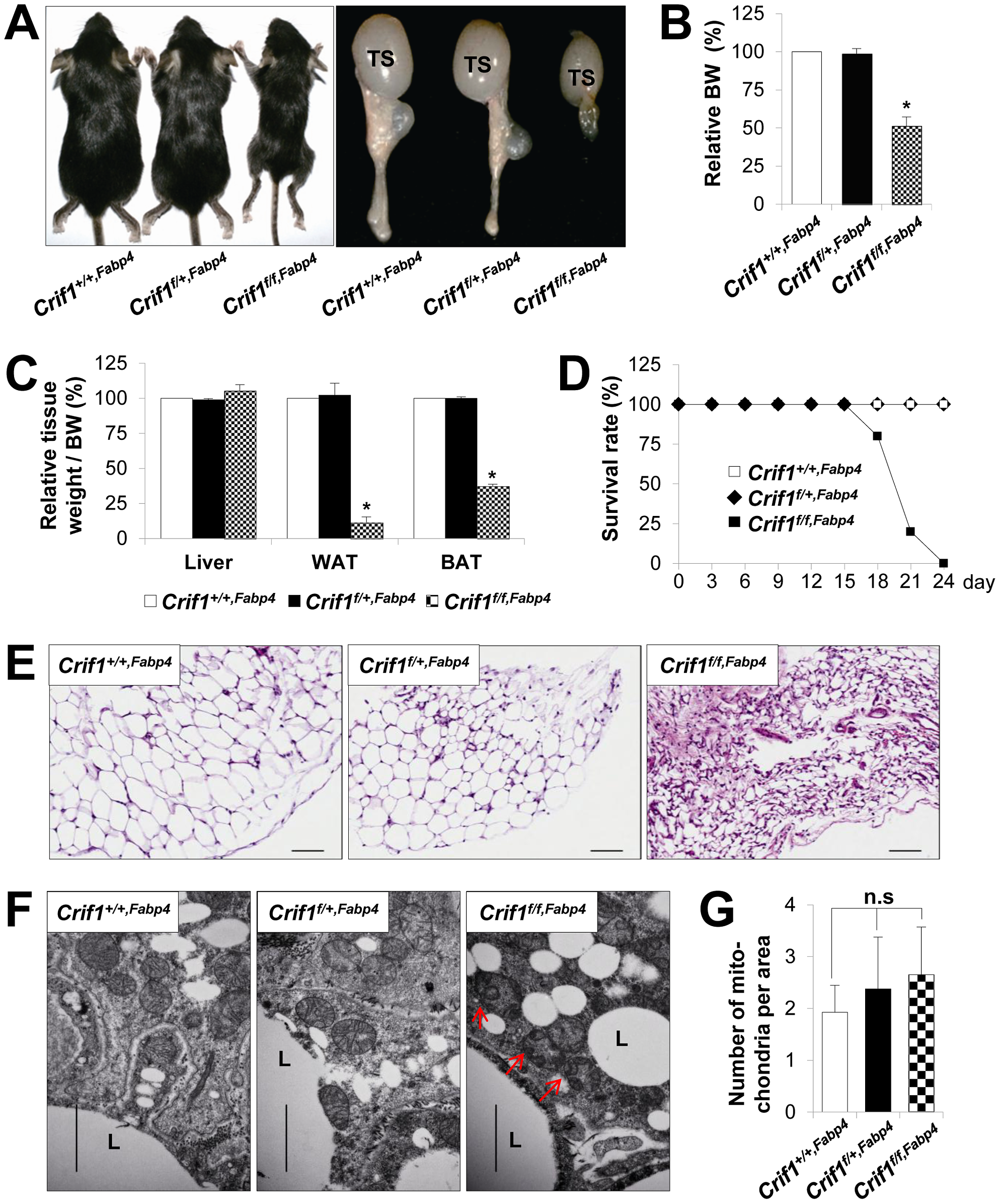 Marked failure of adipose tissue development in <i>Crif1<sup>f/f,Fabp4</sup></i> mice.
