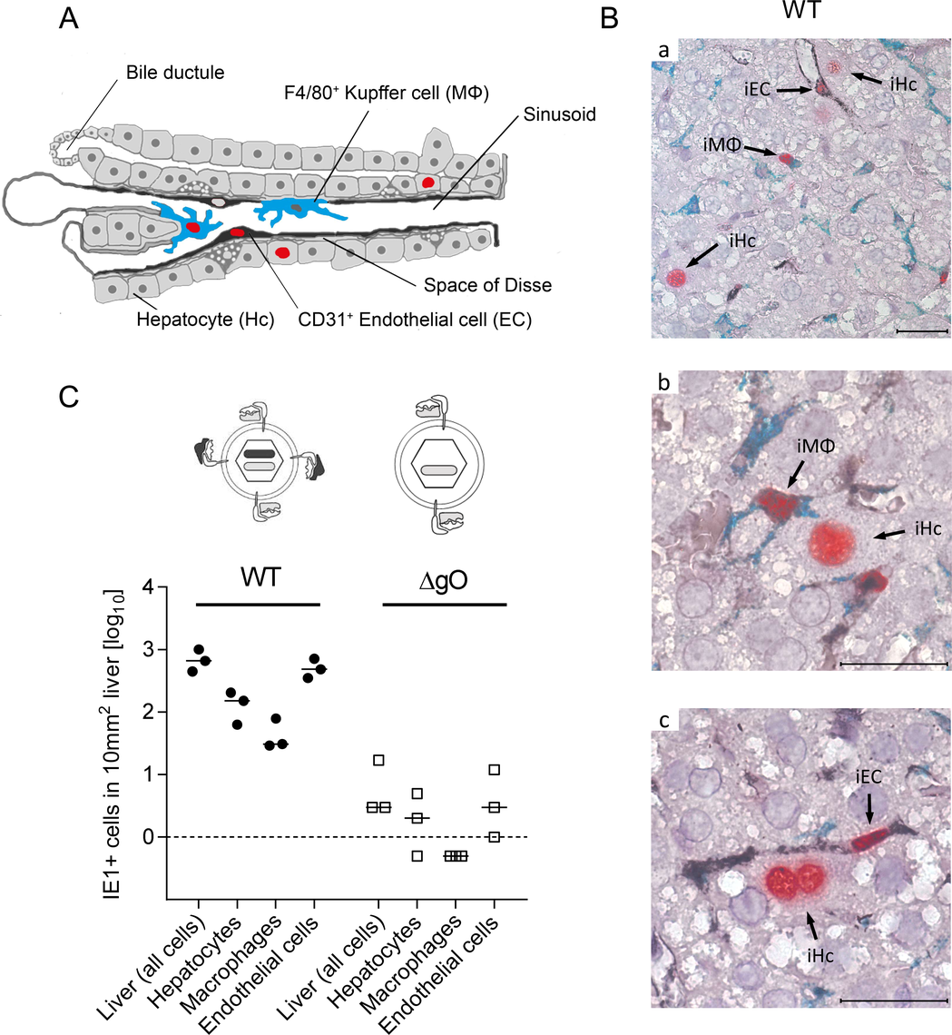 Requirement of gO for efficient initiation of infection in diverse liver cell types.