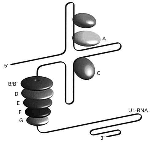 Schematické znázornenie nukleárneho aparátu podieľajúcom sa na úprave hnRNA – vyštepovača Vyštepovač (splicesome) je komplex ribonukleovej kyseliny bohatej na uridín (U1, U2, U4-6, U5, alebo U6), ktorá sa spája so skupinou proteínov (70, A, B/B1, C, D, E, F, G) Fig. 5. Diagrammatic representation of the nuclear system implicated in the modification of the hnRNA – spliceosome The spliceosome is a complex of ribonucleic acid rich in uridine (U1, U2, U4-6, U5, or U6) coupled with a group of proteins (70, A, B/B1, C, D, E, F, G)