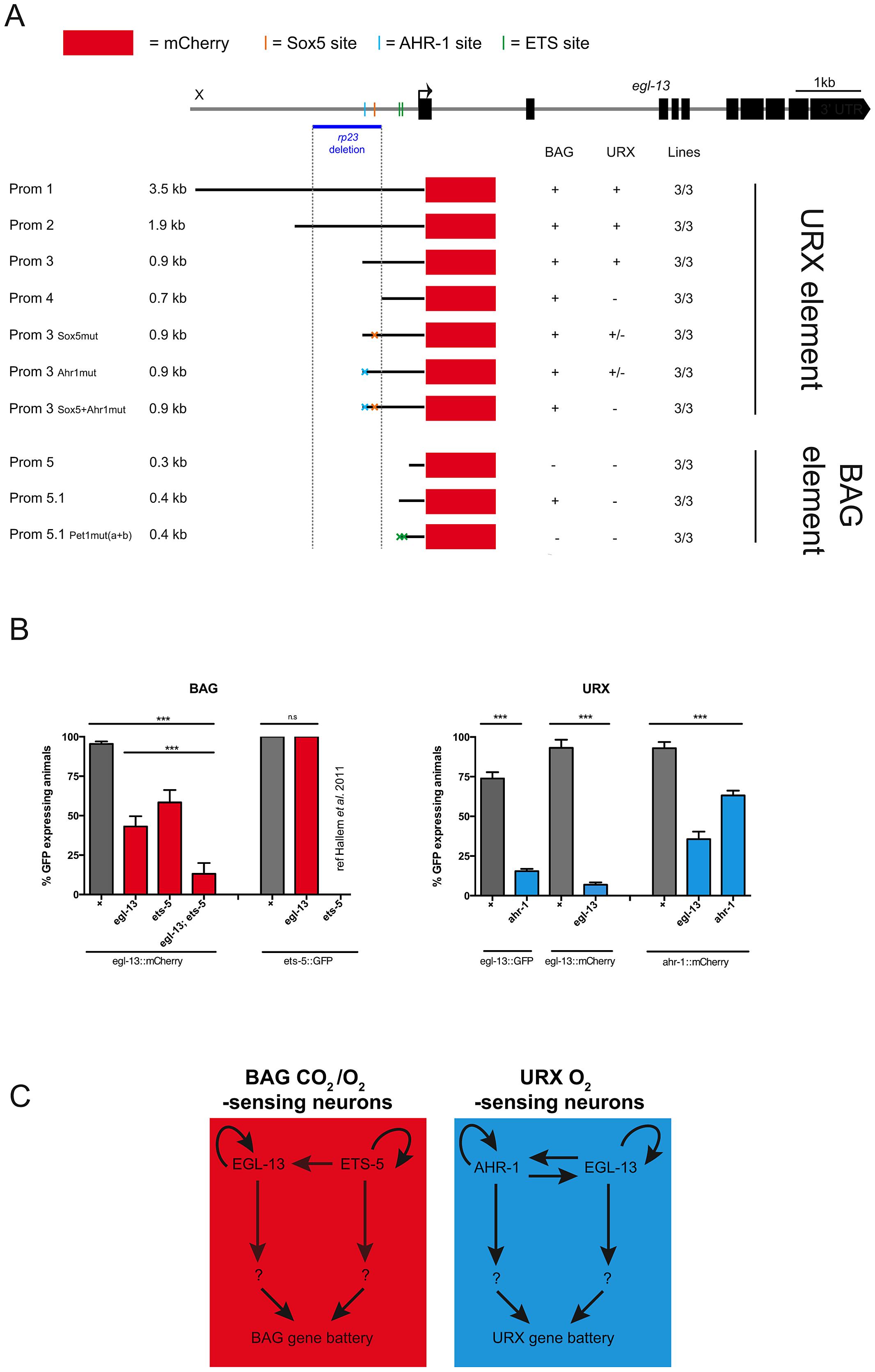 Independent regulatory modules drive <i>egl-13</i> expression in O<sub>2</sub> versus O<sub>2</sub>/CO<sub>2</sub>-sensing neurons.