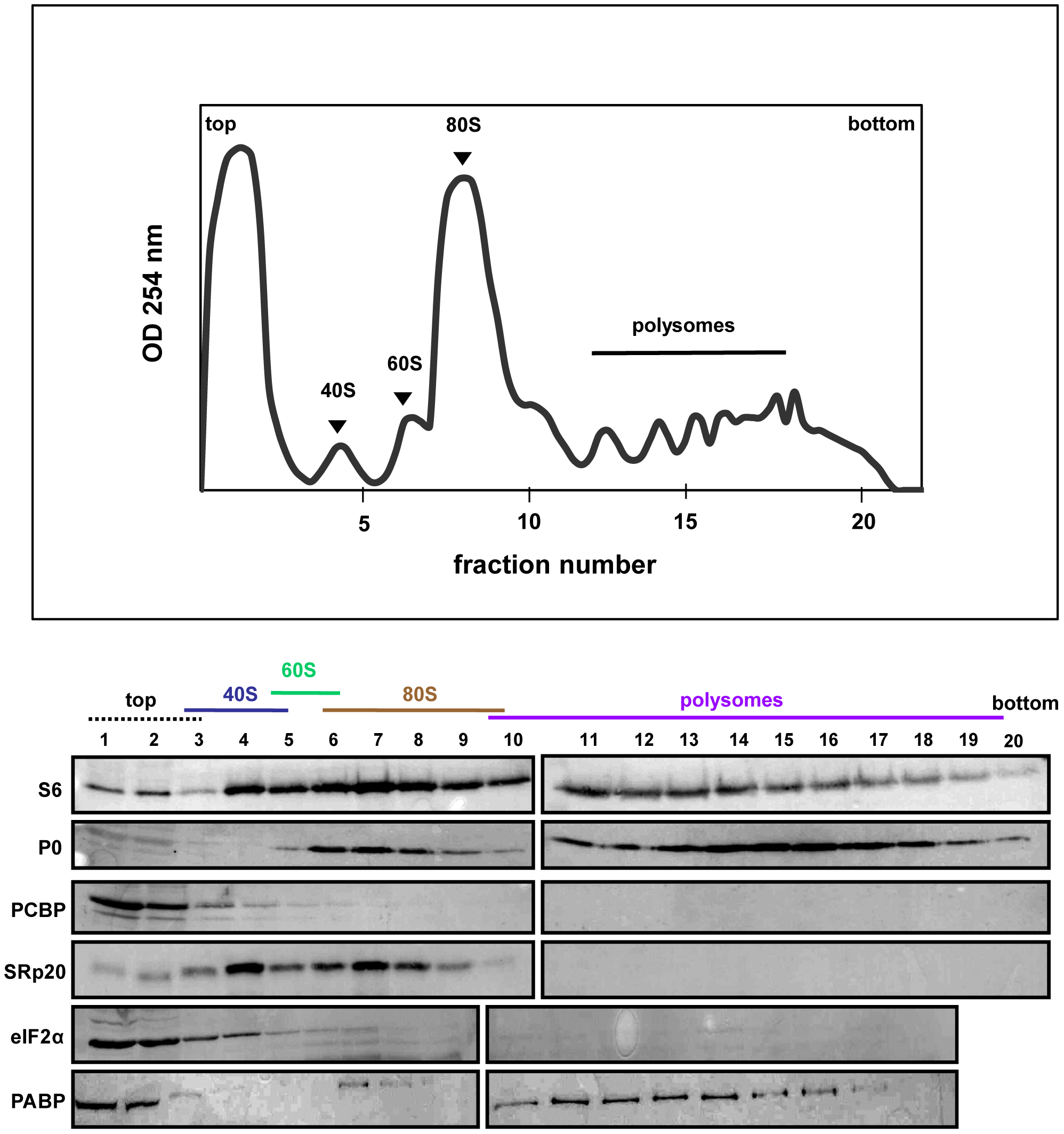 SRp20 and PCBP2 co-sedimentation with 40S ribosomal subunits in mock-infected cells.