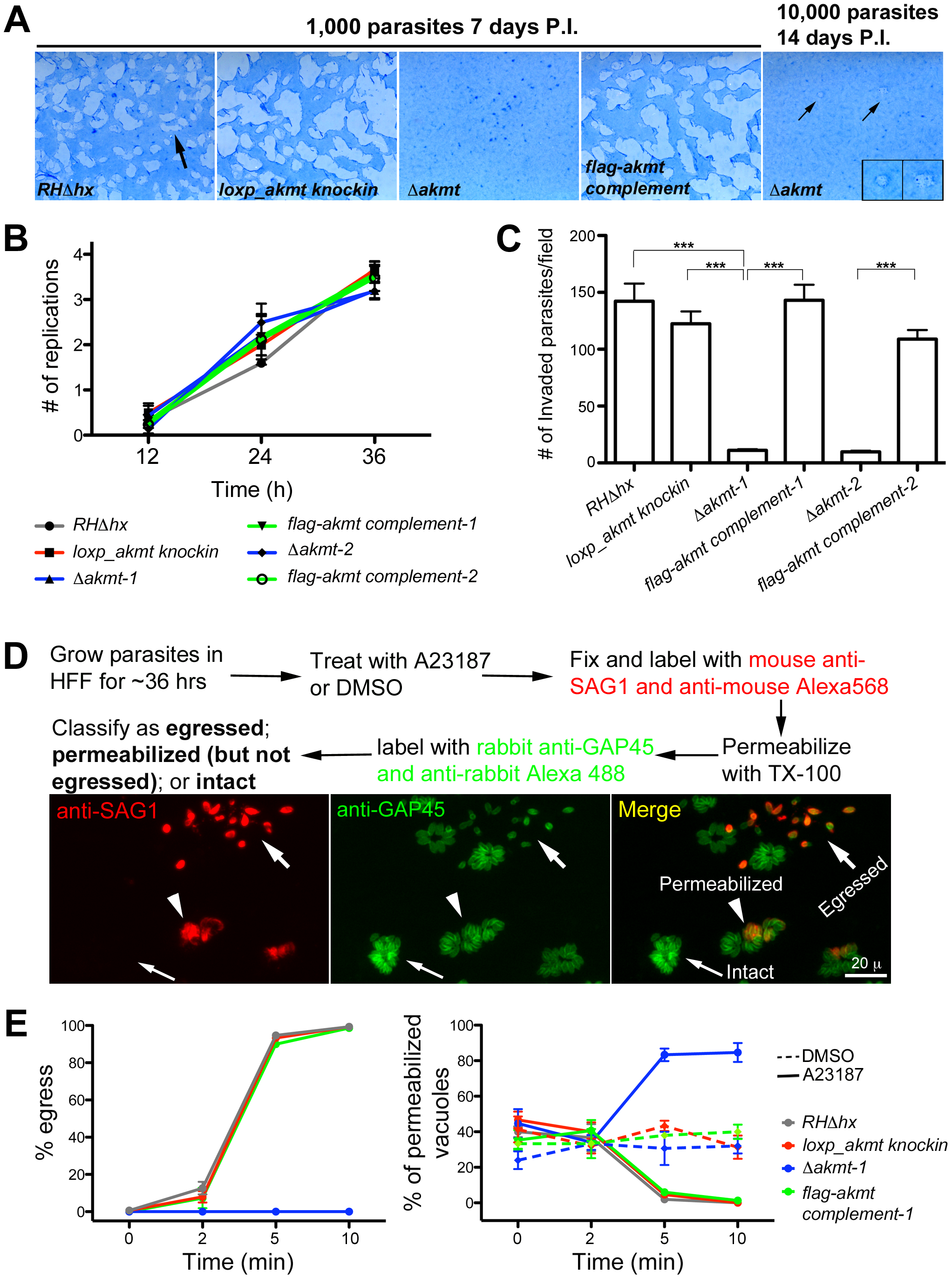 AKMT is important for invasion and egress, but not for parasite replication.