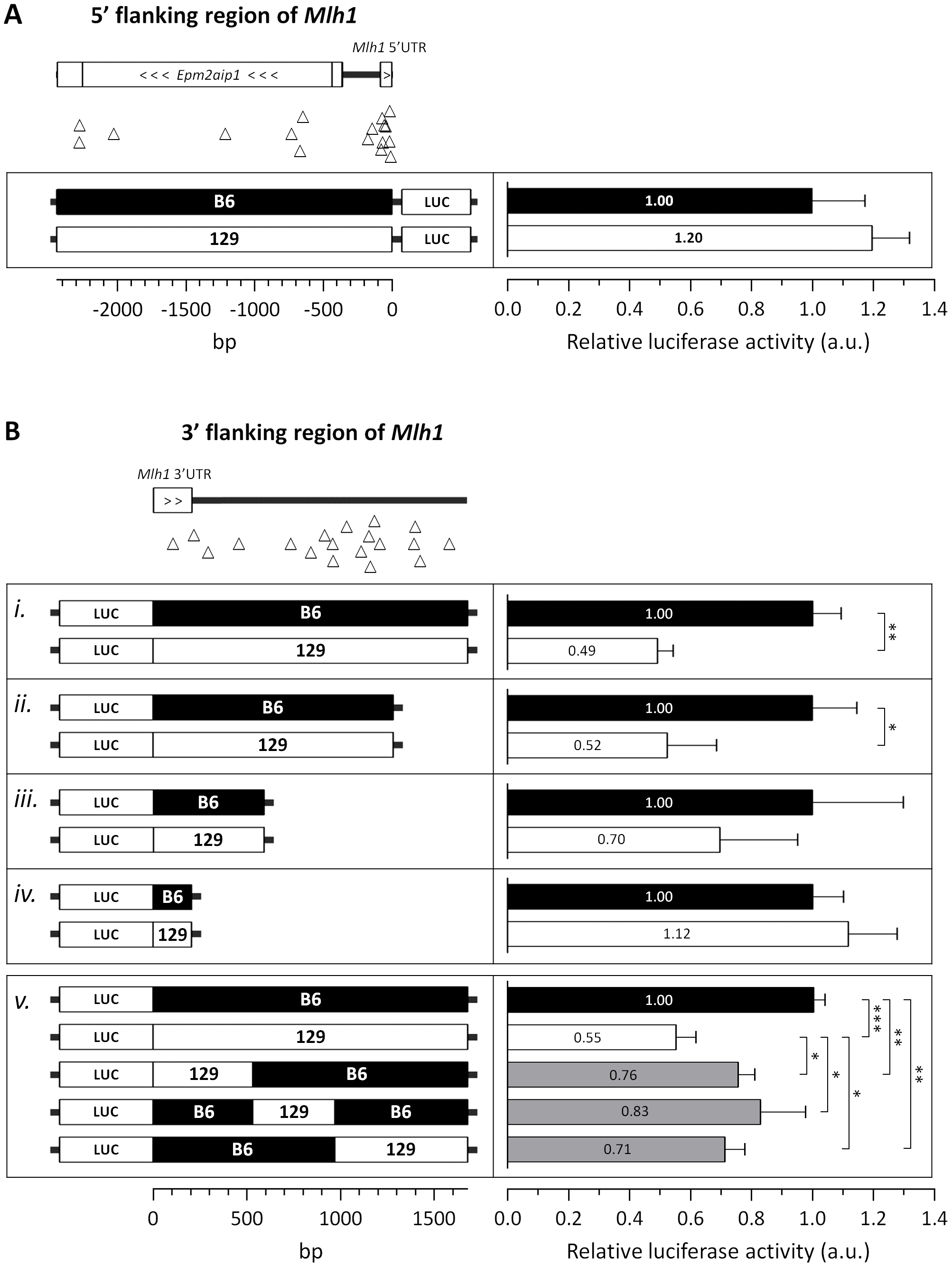 The 129 and B6 3′-flanking regions of <i>Mlh1</i> confer differential mRNA regulation.
