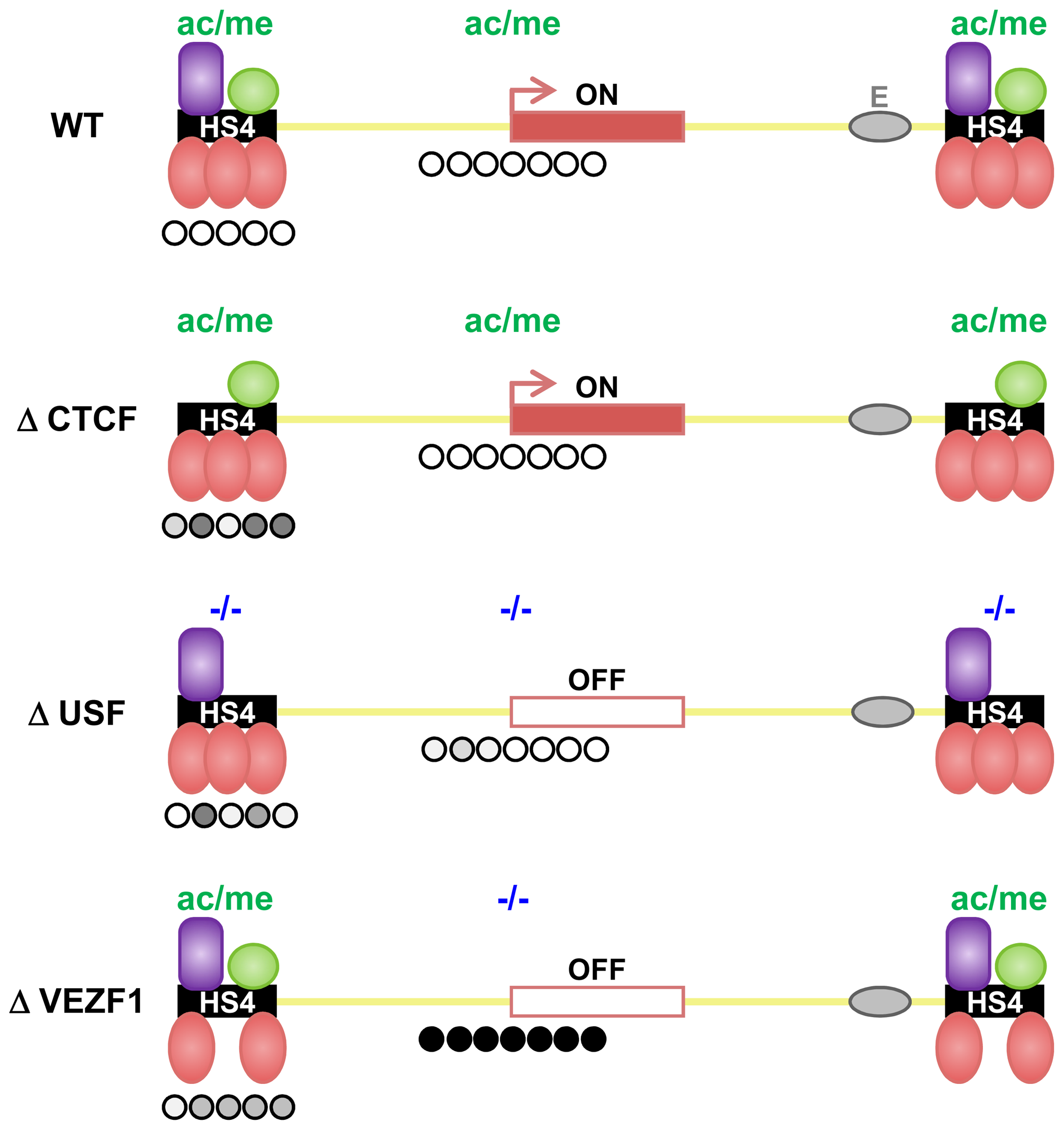 Shielding of a transgene by the multi-component HS4 barrier element.