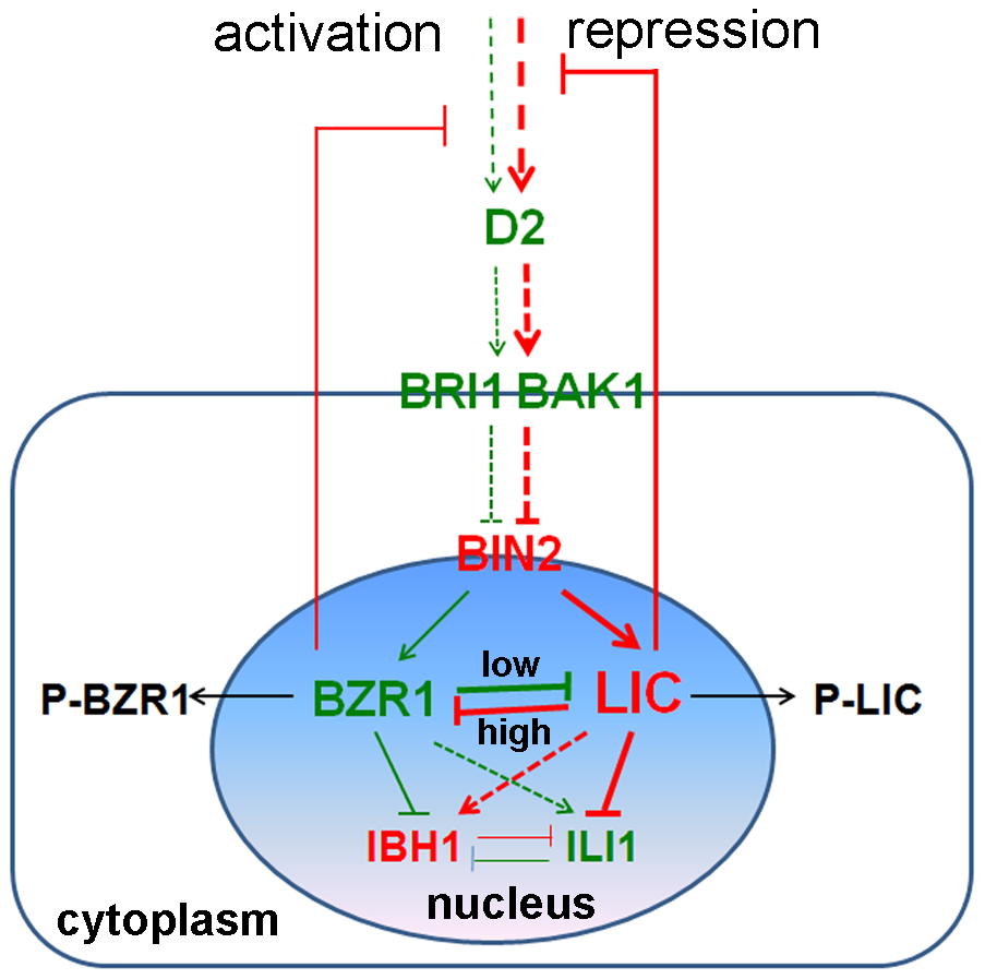 A hypothetical working model for the role of LIC in the BR signaling pathway.
