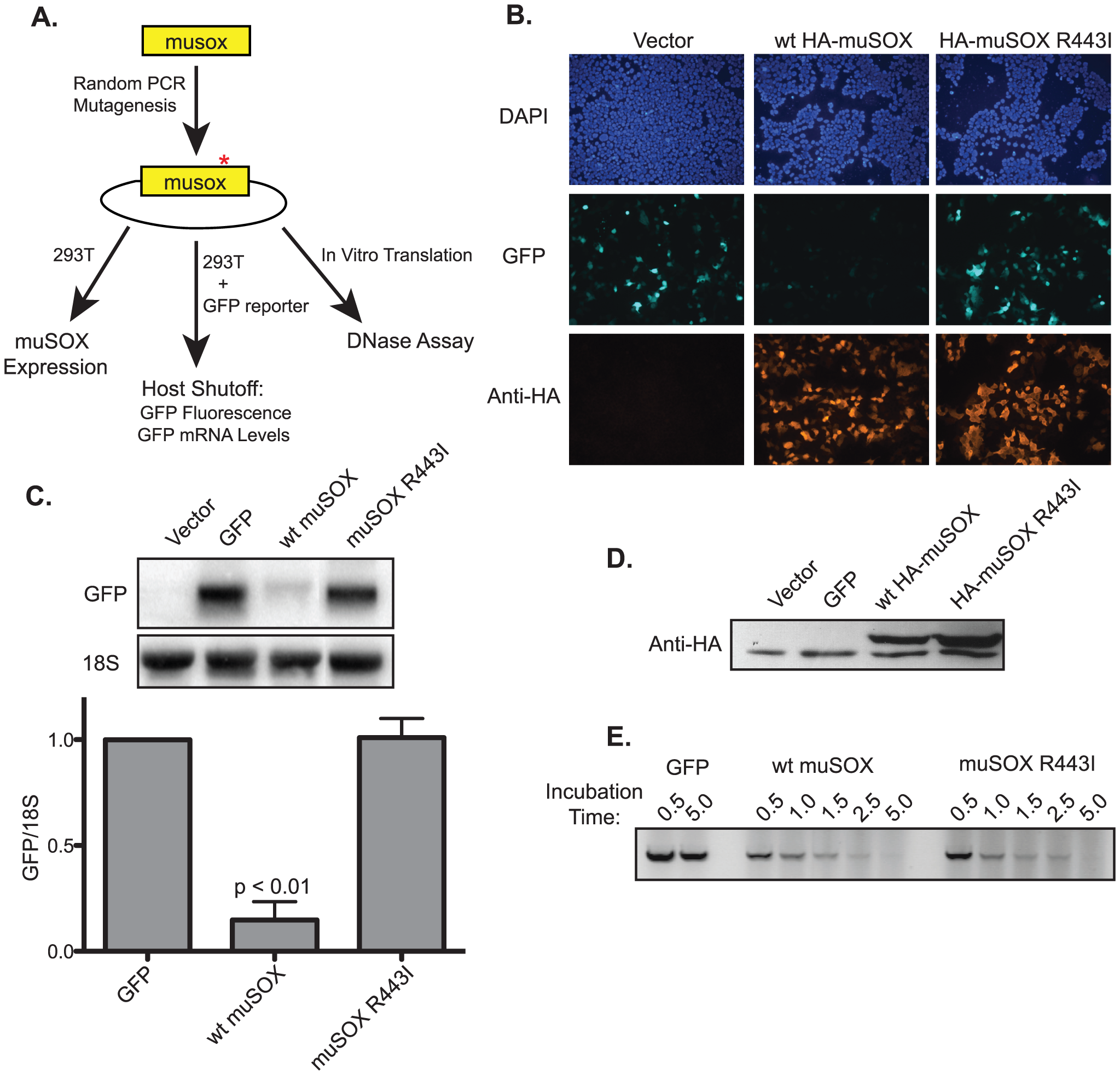 Isolation of the single-function muSOX mutant R443I.