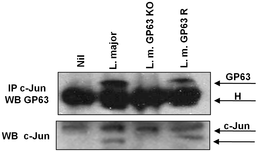 c-Jun interacts with GP63 in nuclear fraction.
