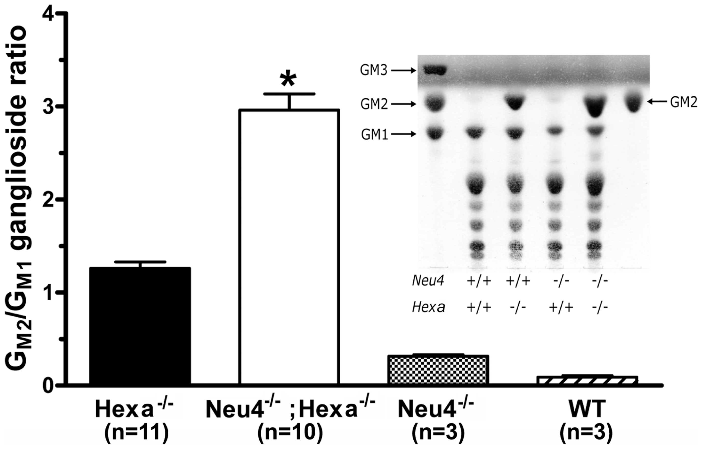 Alteration of G<sub>M2</sub> ganglioside catabolism in the brain tissues of <i>Neu4<sup>−/−</sup></i>;<i>Hexa<sup>−/−</sup></i> mice.