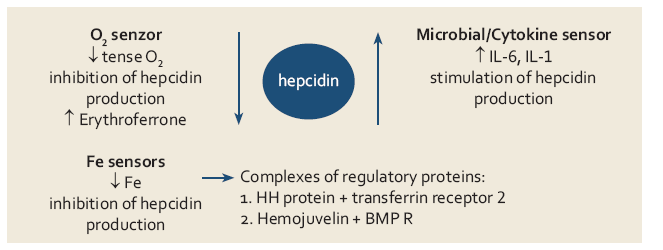 Přehled jednotlivých mechanizmů uplatňujících se v regulaci tvorby hepcidinu.