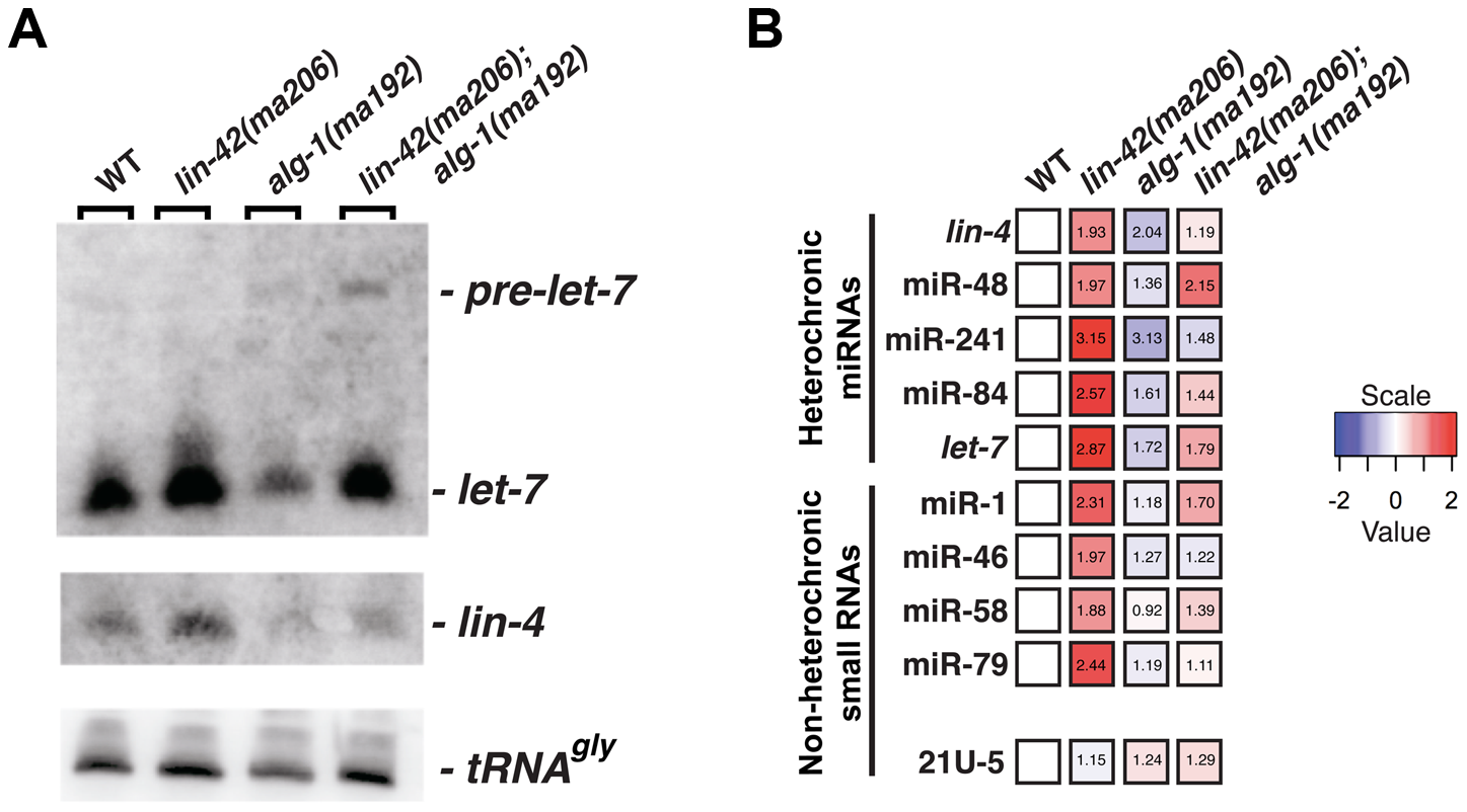 <i>lin-42</i> mutations lead to the overexpression of several miRNAs.