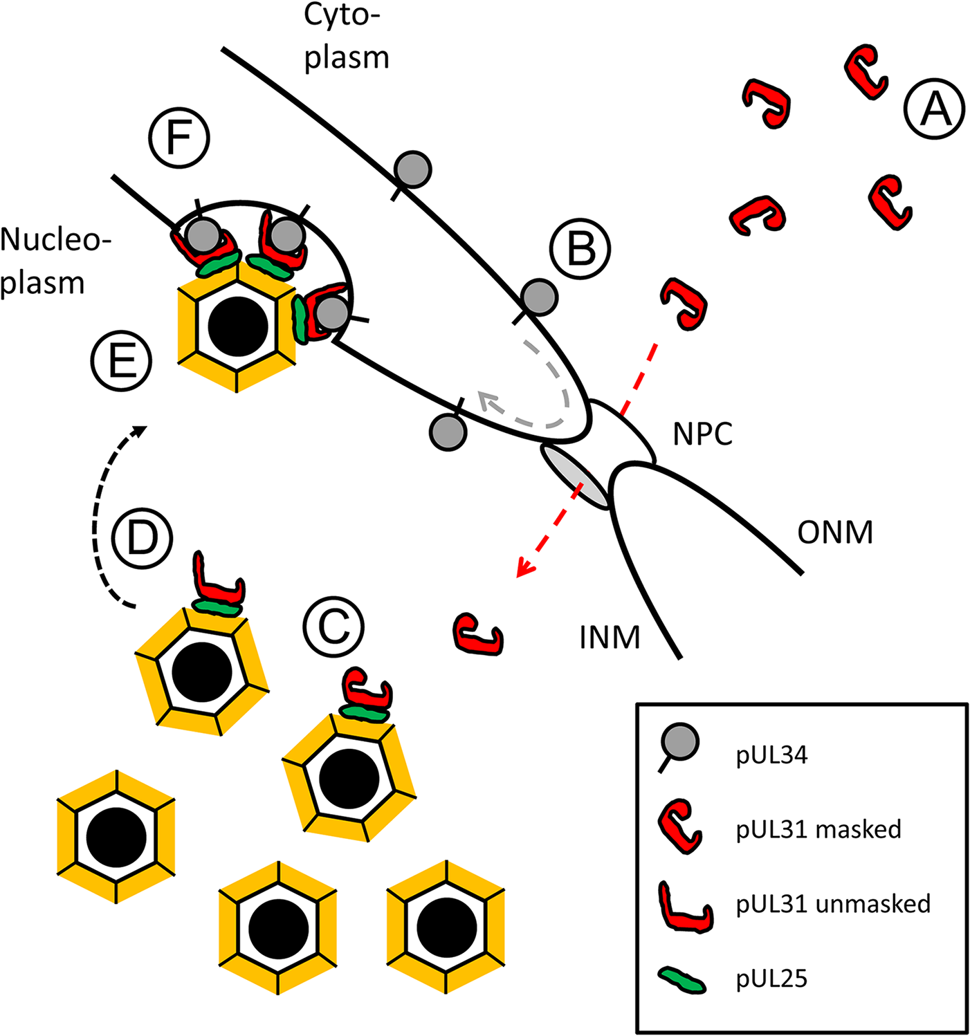 HSV-1 pUL31-mediated escort of capsids to the nuclear periphery.