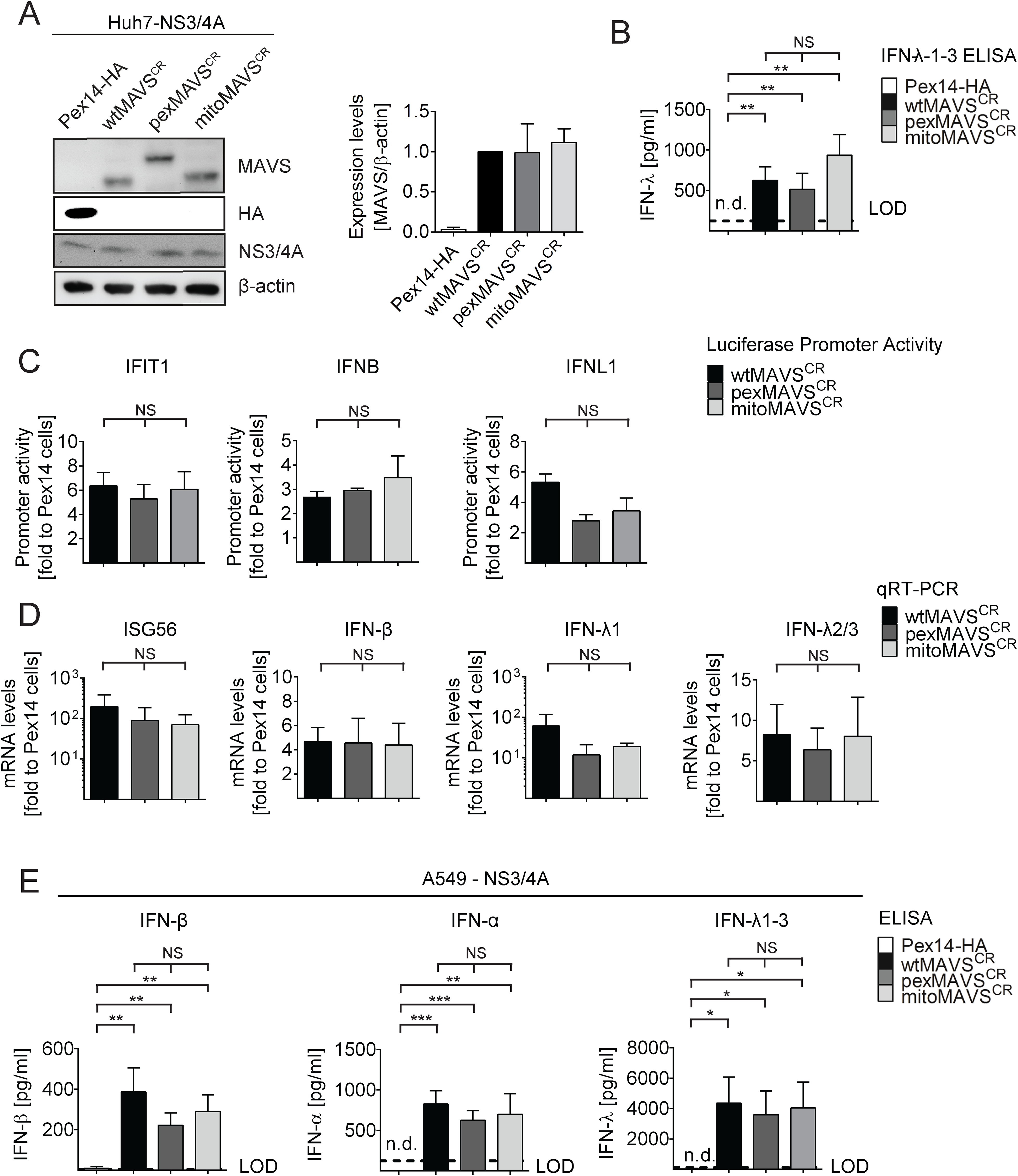 Comparable activation of the IFN system by MAVS proteins localizing to peroxisomes or mitochondria in Huh7 and A549 cells.