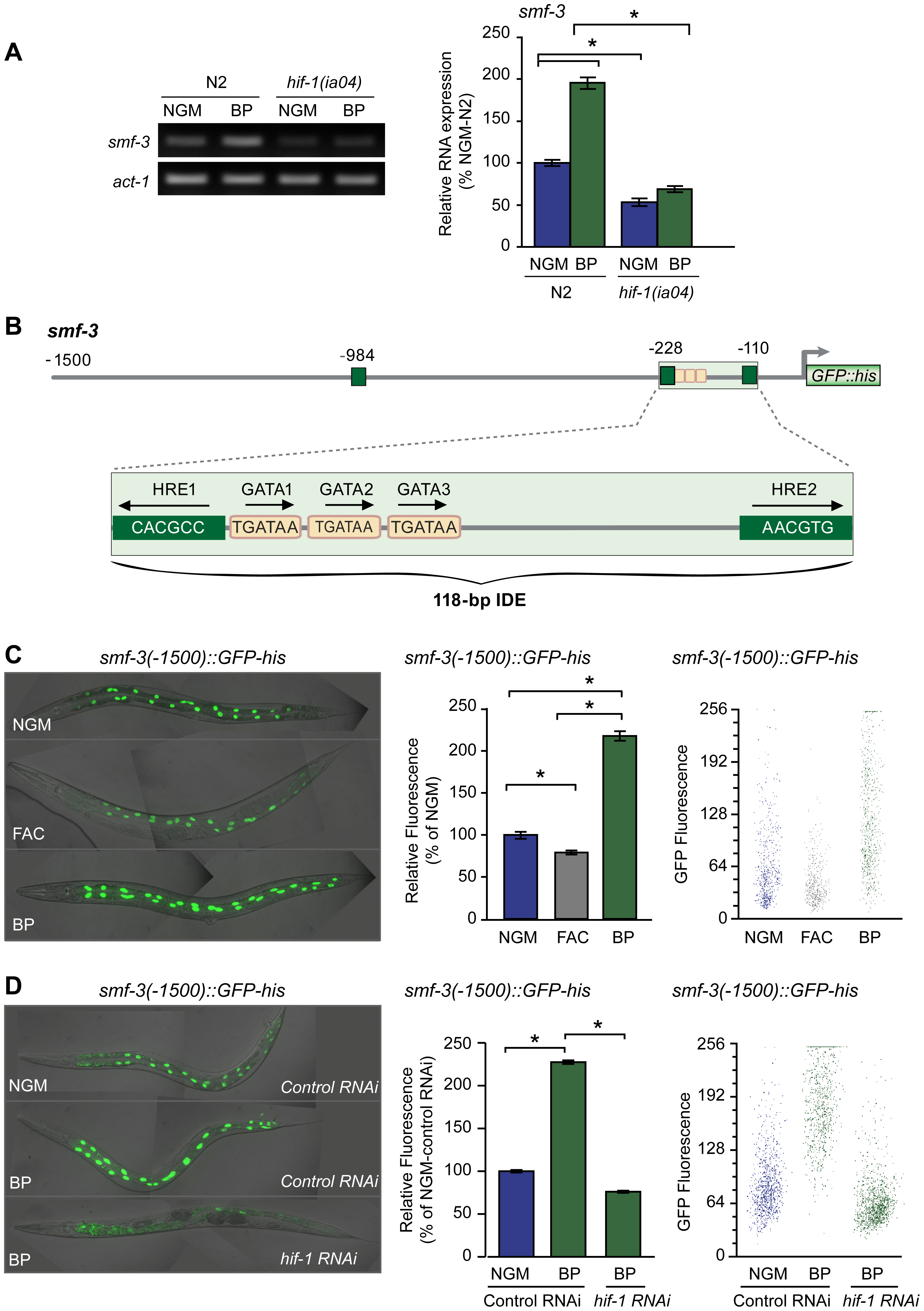 Activation of <i>smf-3</i> during iron deficiency is dependent on an IDE in the <i>smf-3</i> promoter.