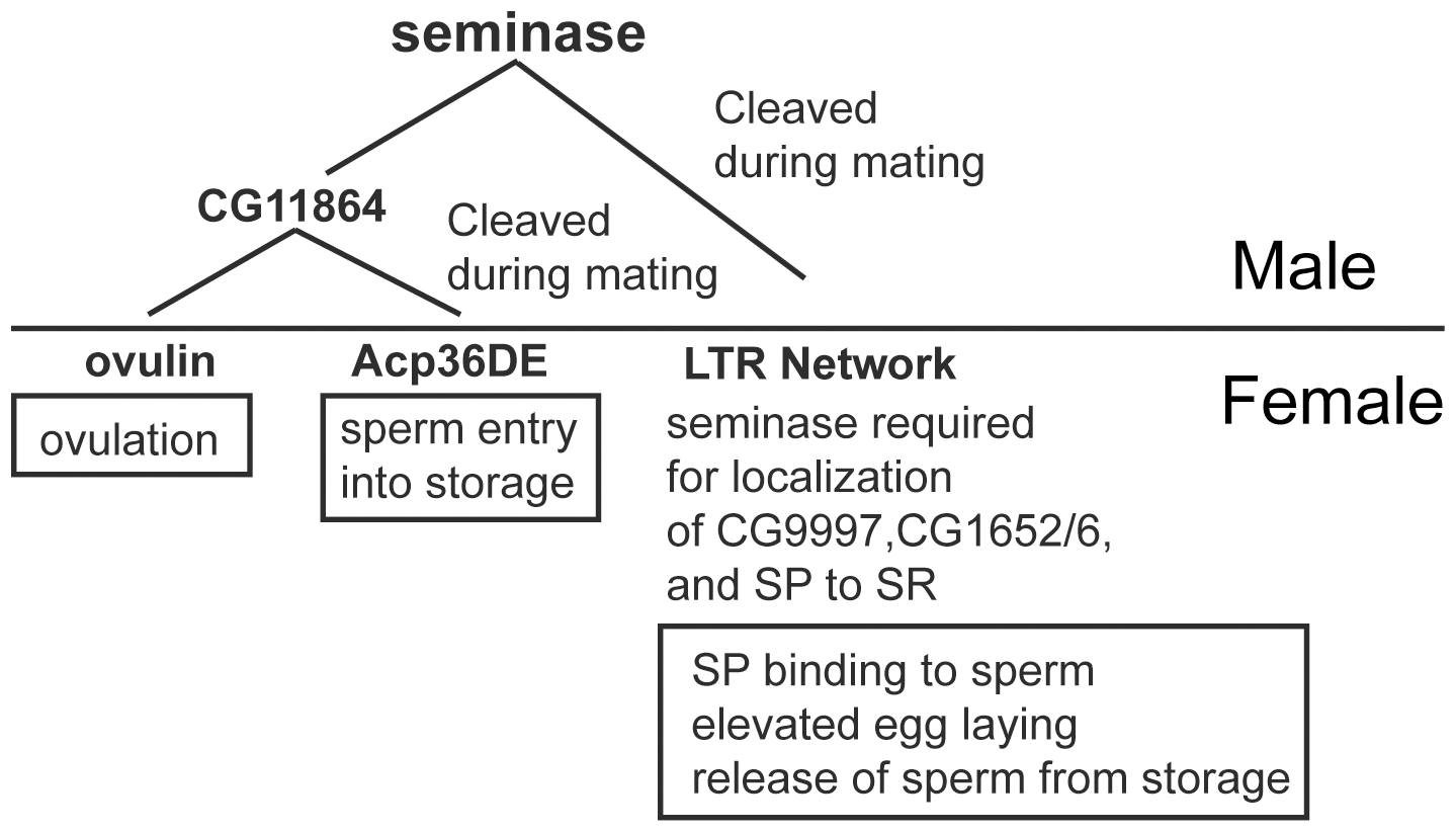 Seminase is required for two post-mating pathways.