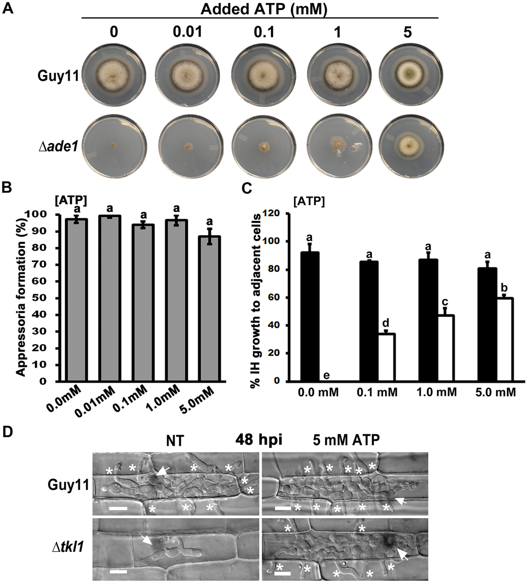 Exogenous ATP promotes biotrophic growth and cell-to-cell movement by Δ<i>tkl1</i> mutant strains.