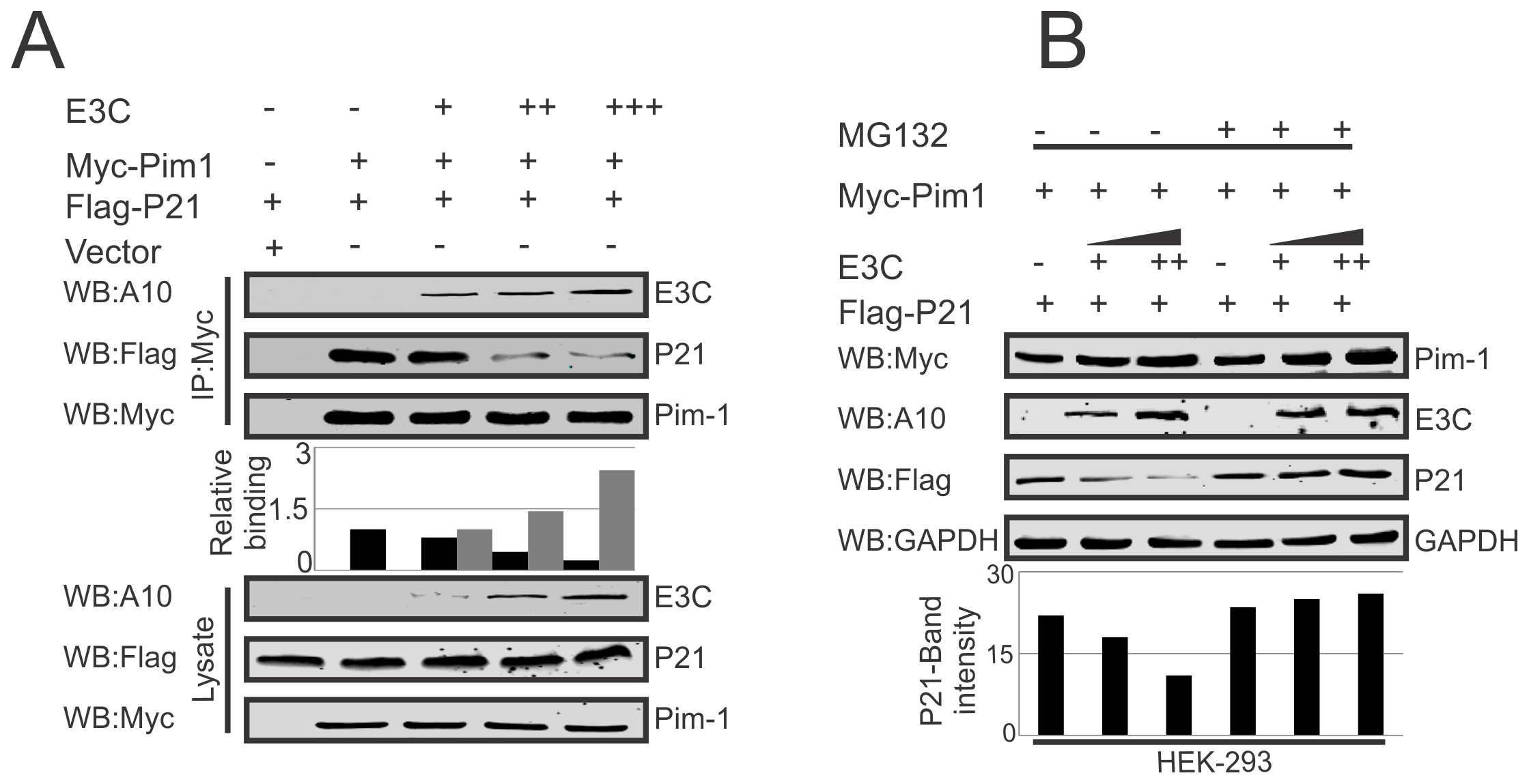 EBNA3C competes with p21 for Pim-1 binding.
