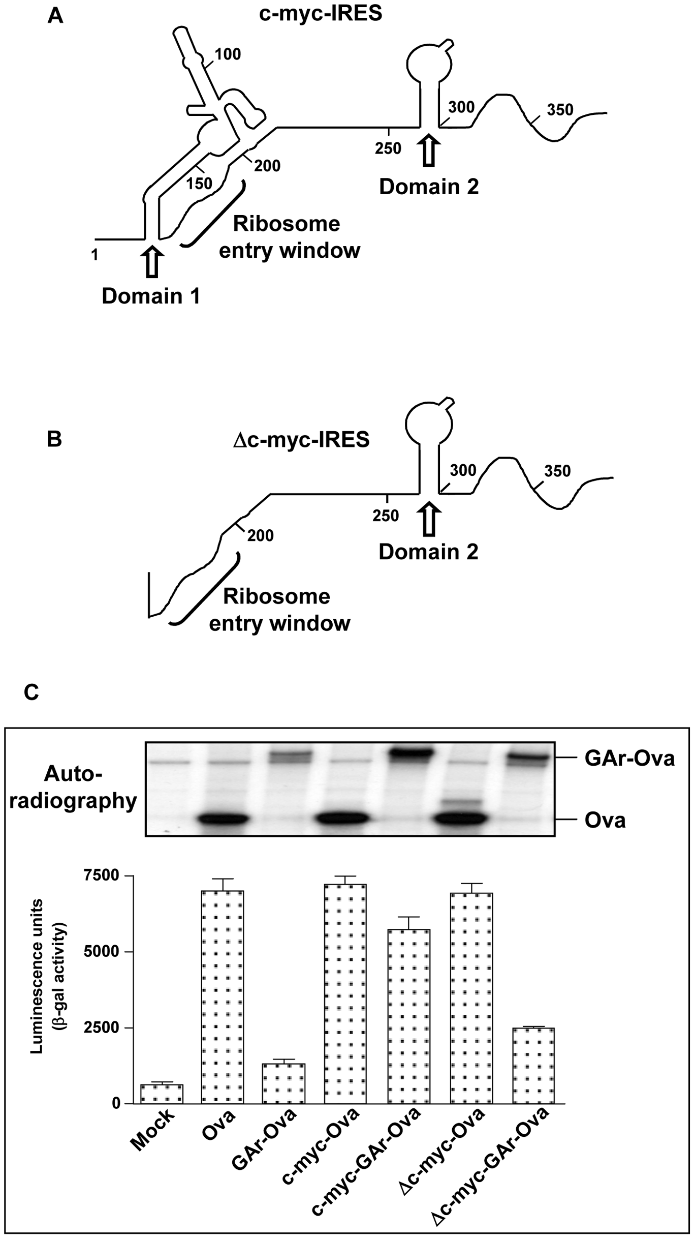 Domain 1 of the c-myc IRES is responsible for the effect of the c-myc IRES on GAr-dependent translation control.