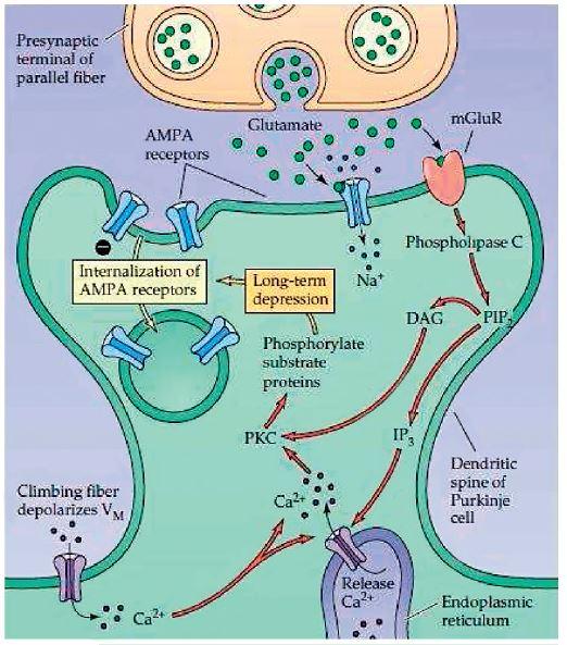 Internalizace AMPA receptorů. (Převzato Purves, D. et al., Neuroscience 4ed 2014.)