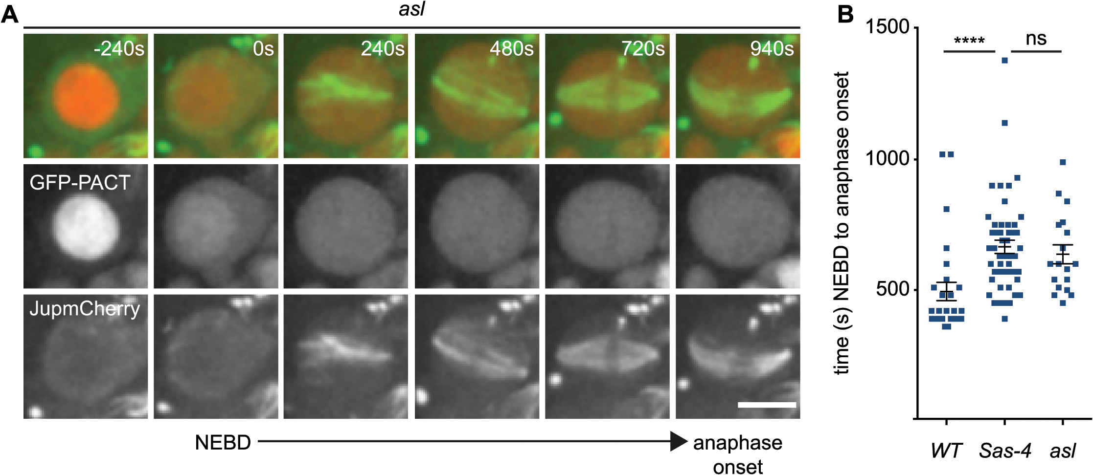aMTOCs do not detectably contribute to spindle assembly in the absence of centrosomes.