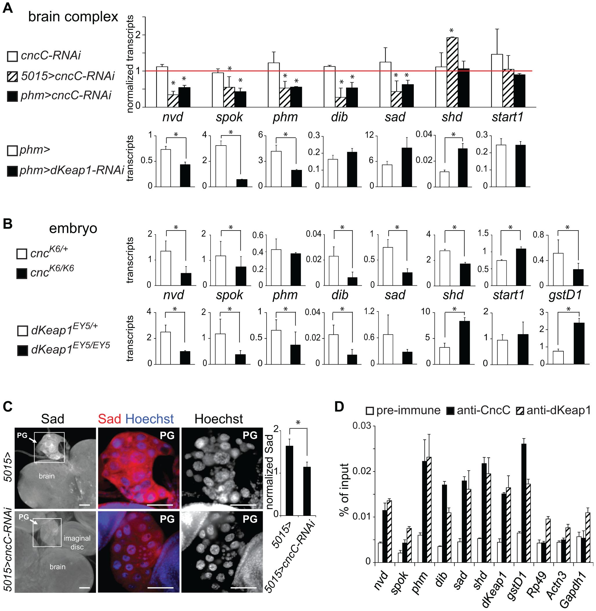 Regulation of ecdysone biosynthetic gene transcription by CncC and dKeap1.