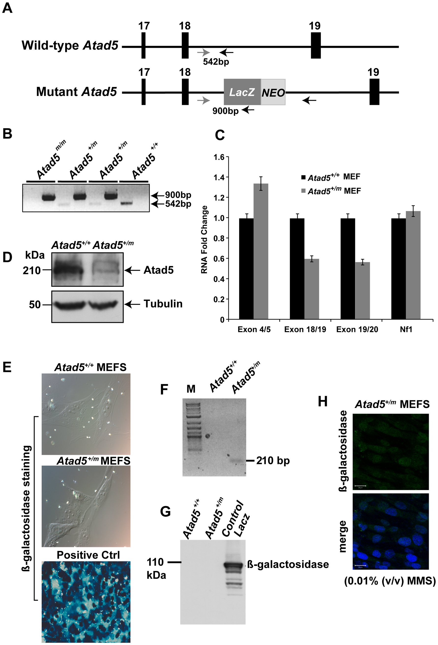 Disruption of the mouse Atad5 gene by insertional mutagenesis.