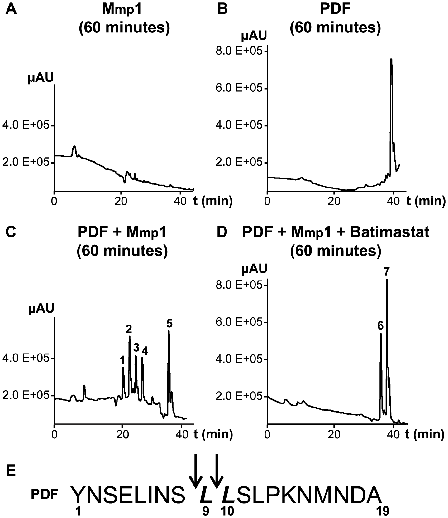 Mmp1 processes the PDF neuropeptide <i>in vitro</i>.