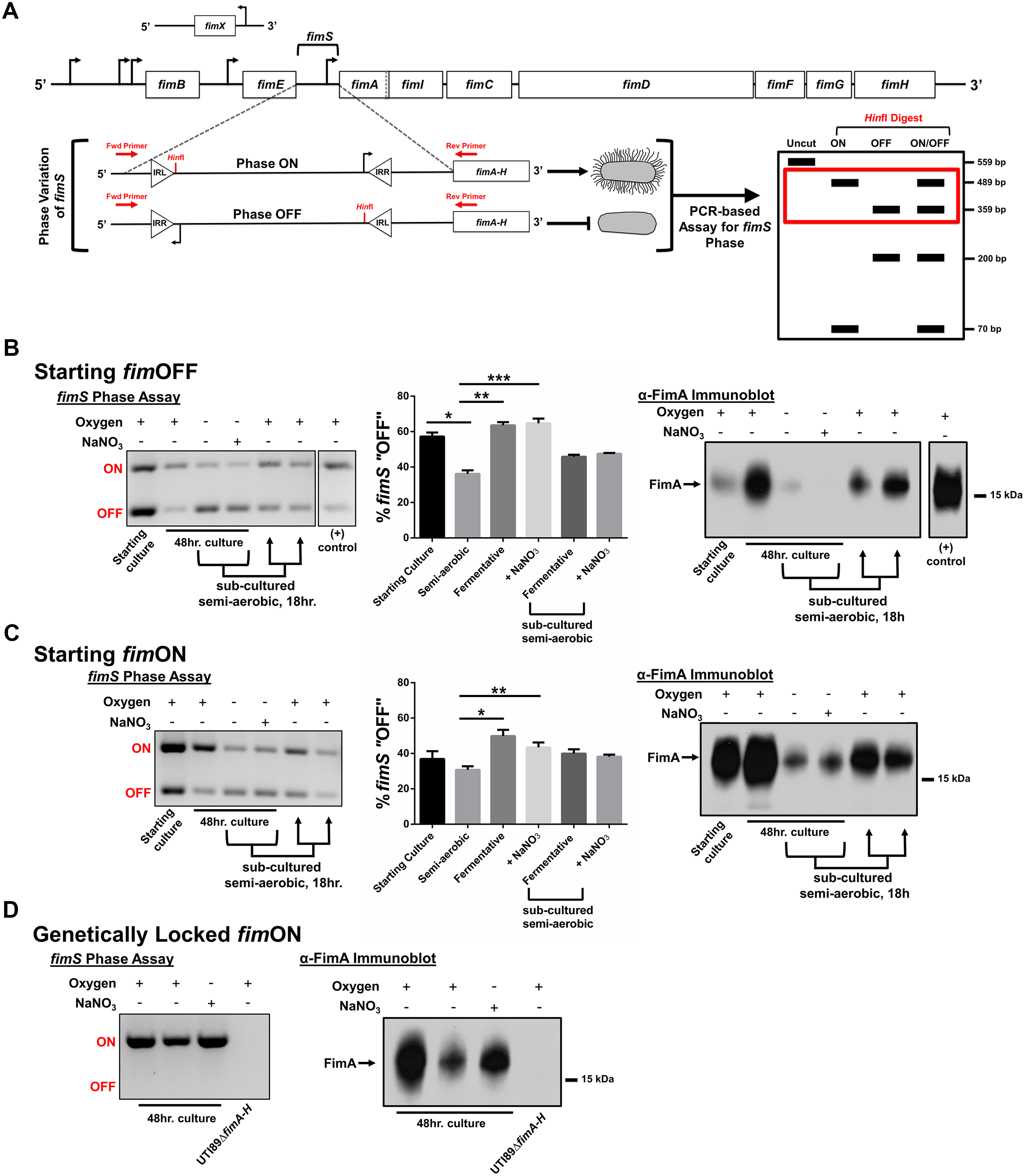 UPEC type 1 pili expression is repressed under oxygen-deplete growth conditions.