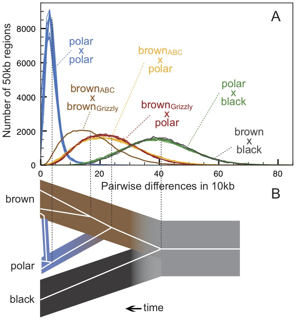 Genetic diversity within and between bear species.