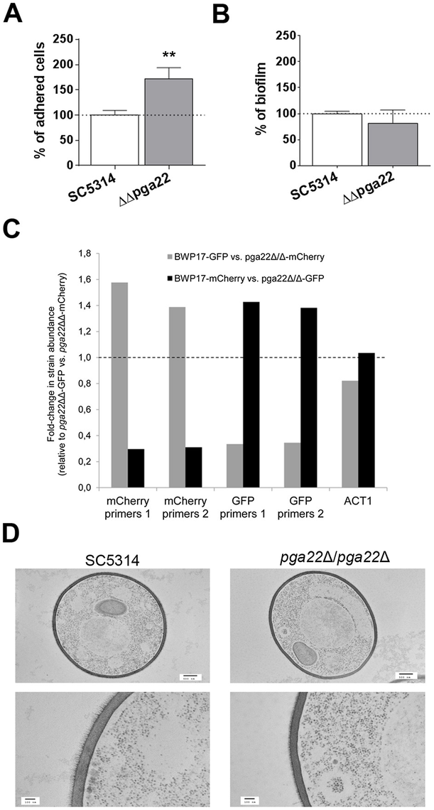 <i>PGA22</i> inactivation results in increased adherence, higher occupancy of a mixed biofilm and alteration of the cell wall outer layer.