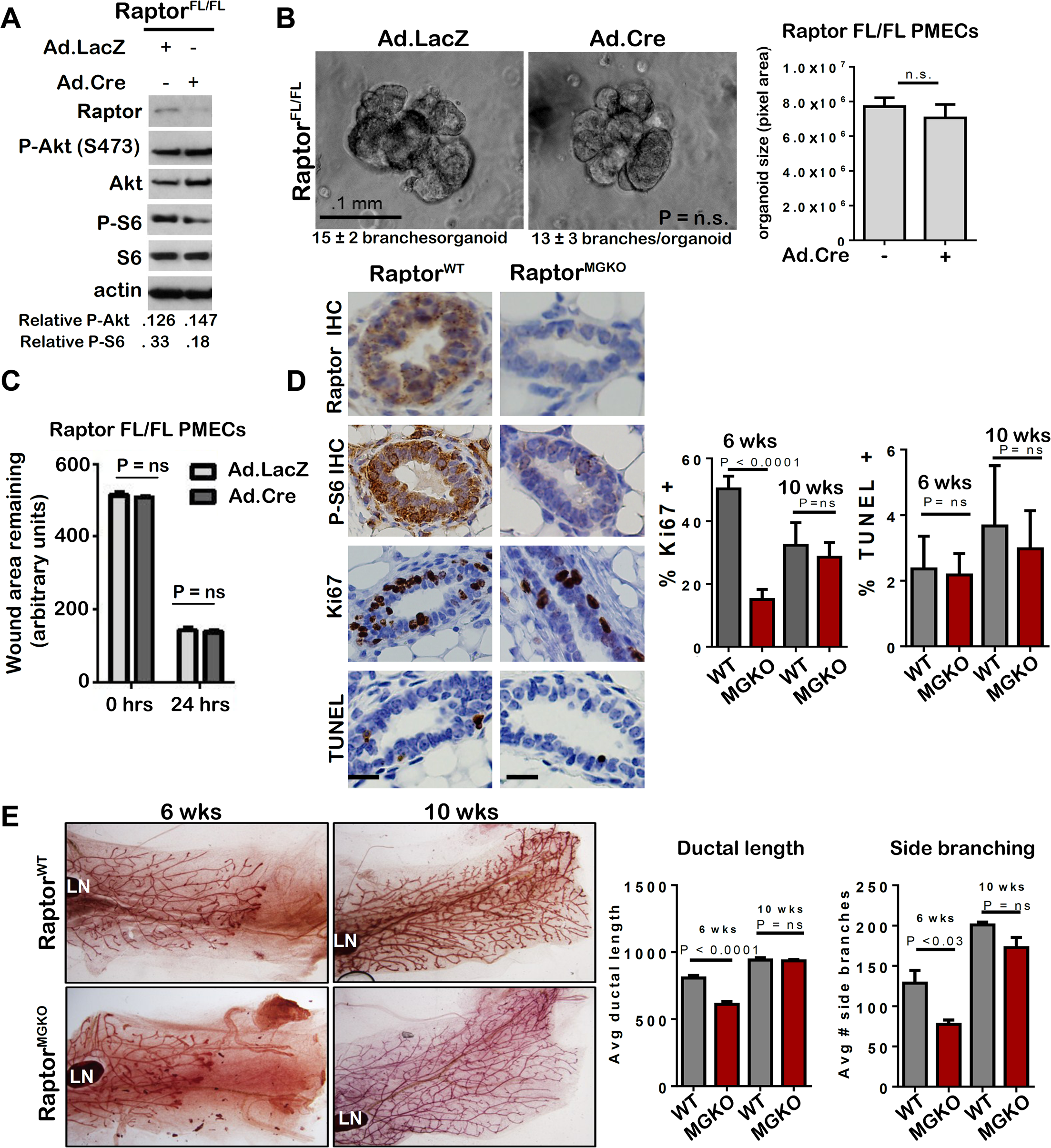 Unlike mTORC2, mTORC1 is dispensable for MEC survival and branching morphogenesis.