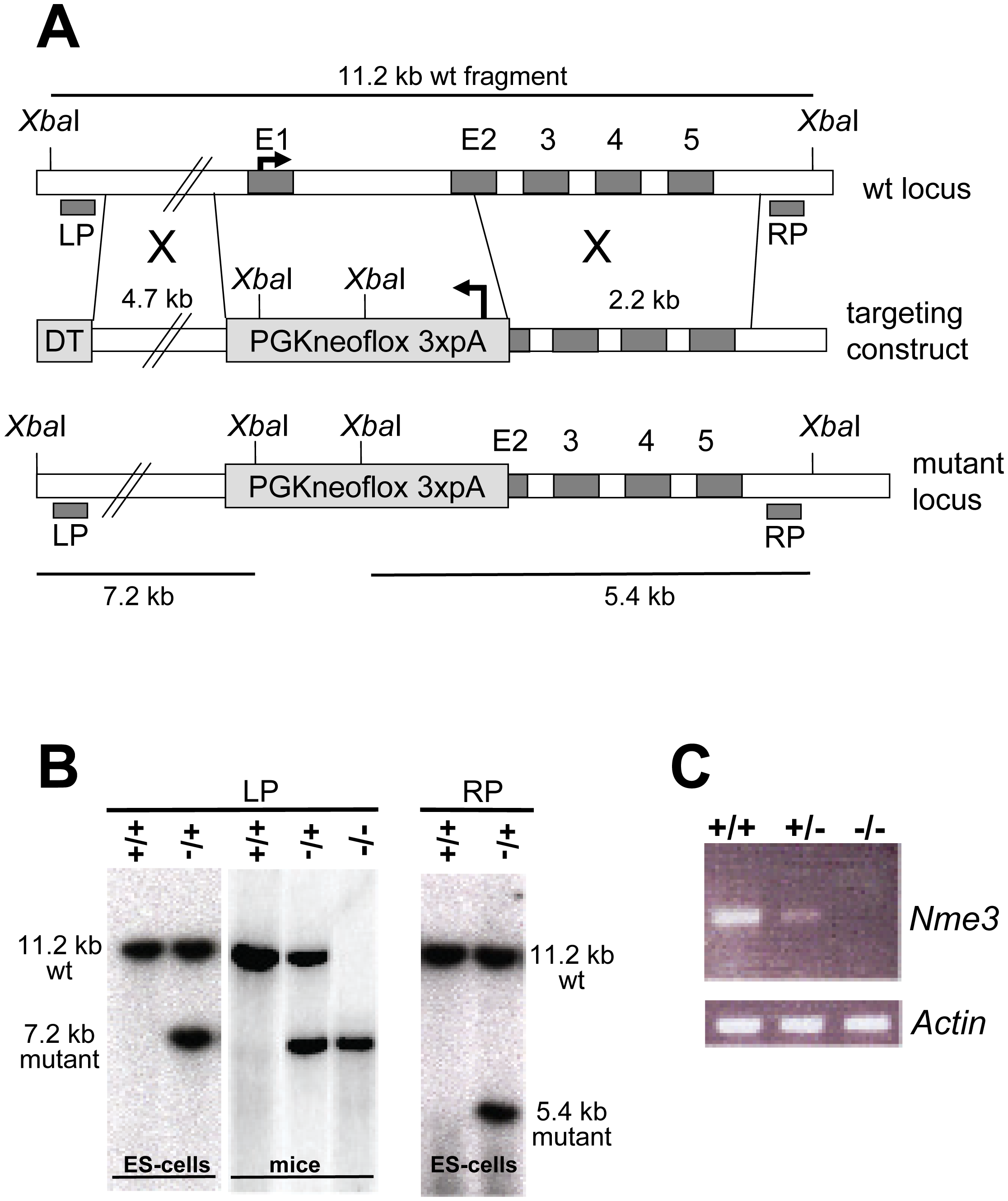 Targeted inactivation of the <i>Nme3</i> gene.