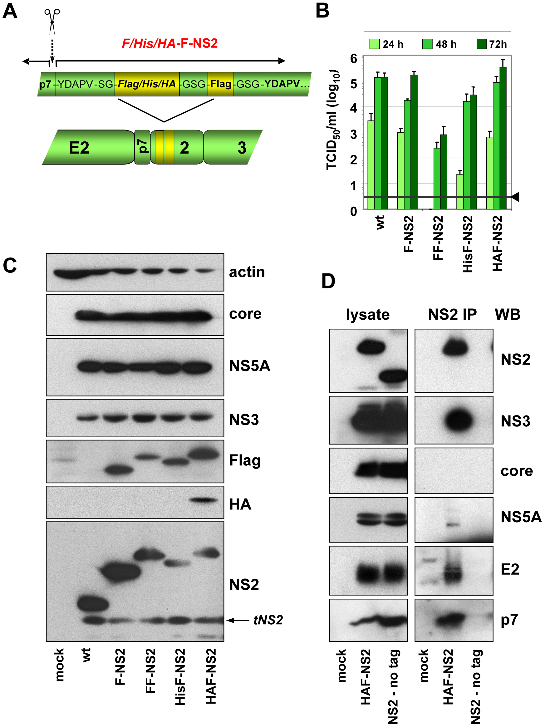 Construction and functional characterization of JFH1 genomes encoding an N-terminally tagged NS2 protein.