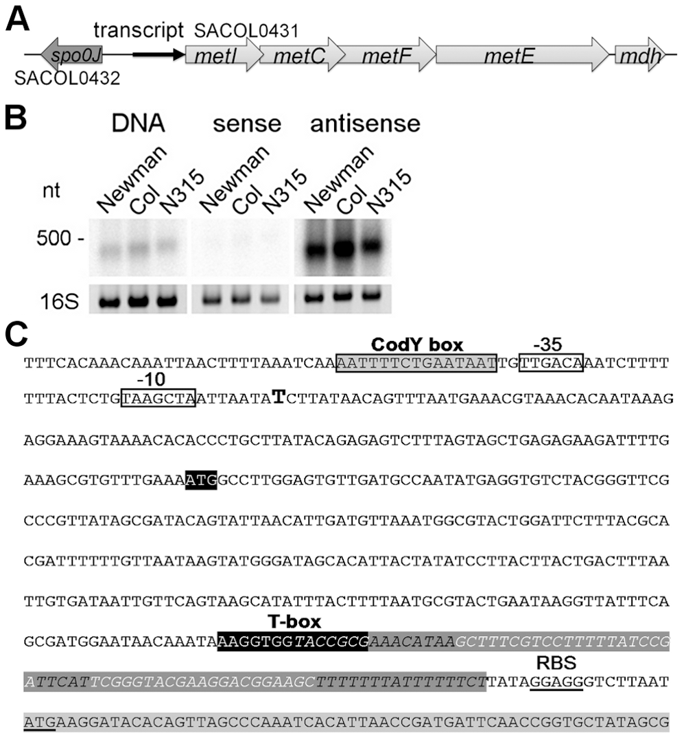 Determination of a leader RNA transcript upstream of methionine biosynthesis genes.