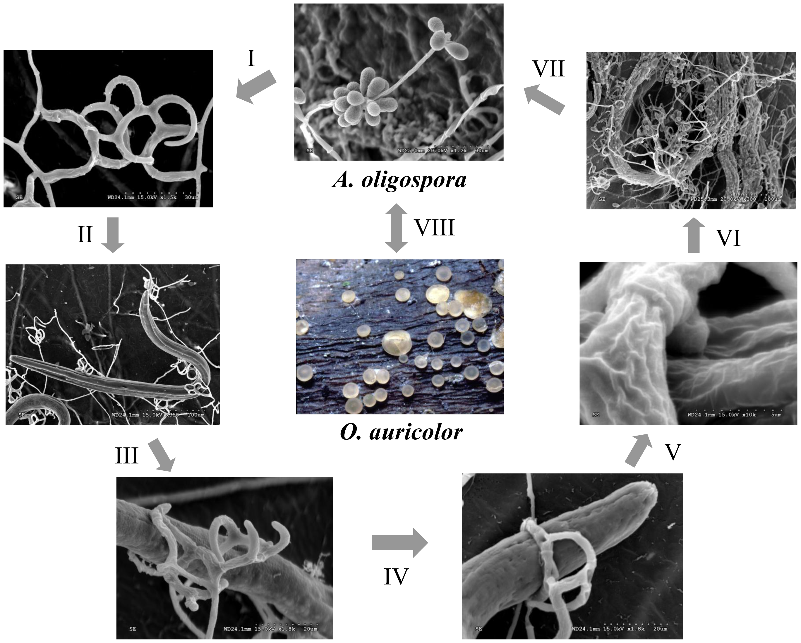Saprophytic and parasitic stages of the nematode-trapping fungus <i>A. oligospora</i>.