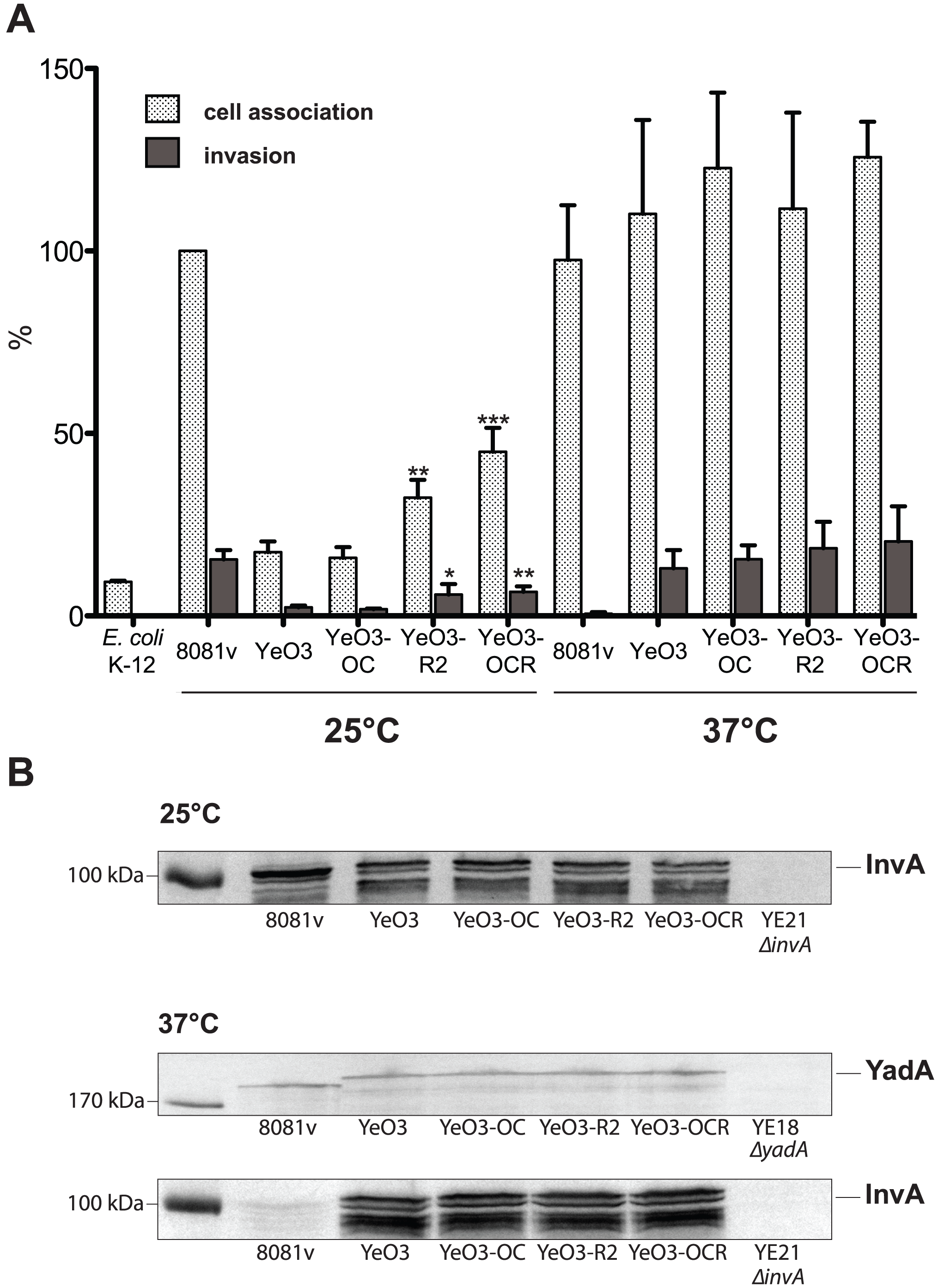Influence of the <i>Y. enterocolitica</i> O:3 O-antigen on host cell invasion.