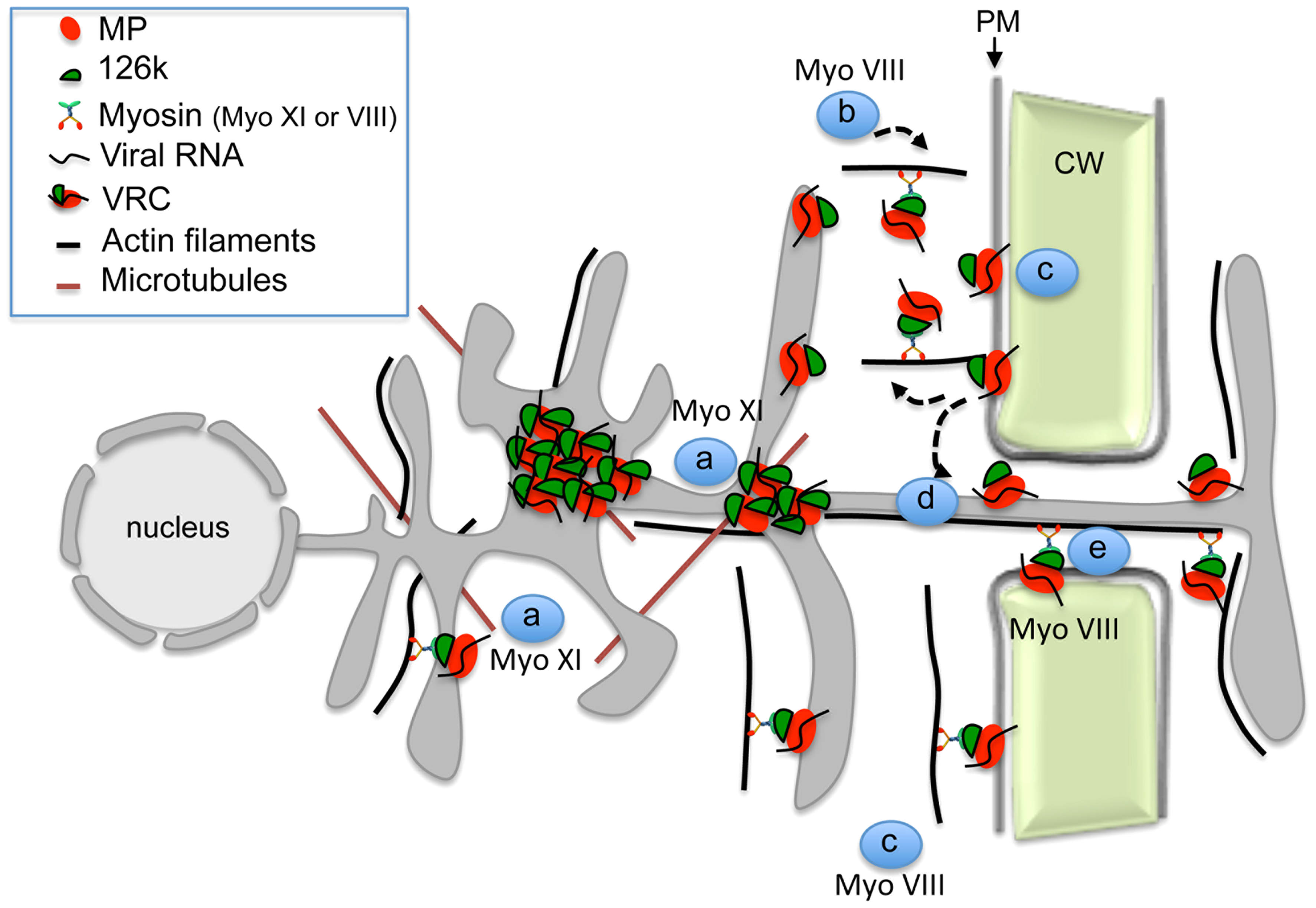 Model illustrating the role of the actomyosin system in the intra- and intercellular movement of TMV.